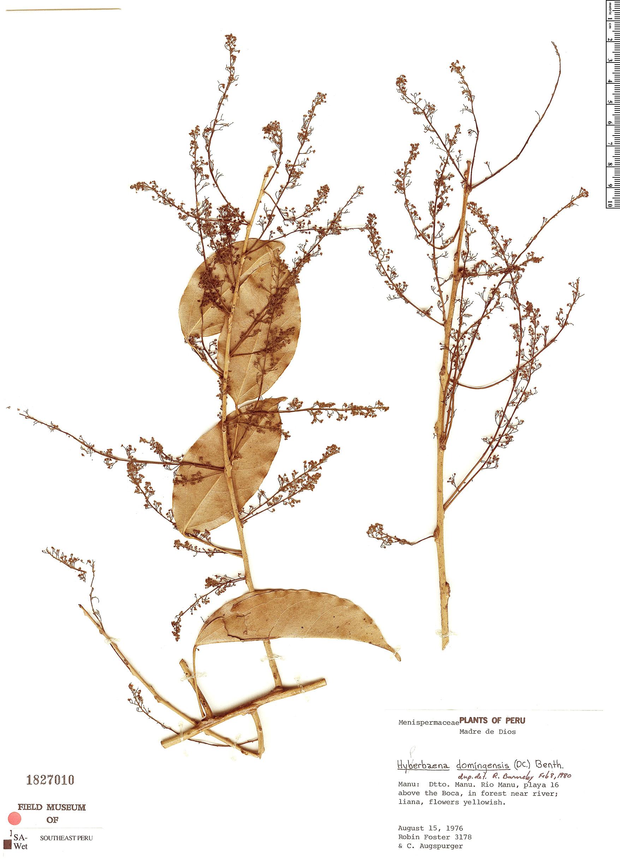 Specimen: Hyperbaena domingensis
