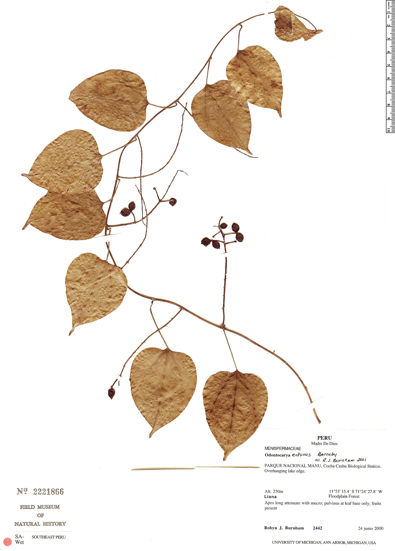 Specimen: Odontocarya echinus