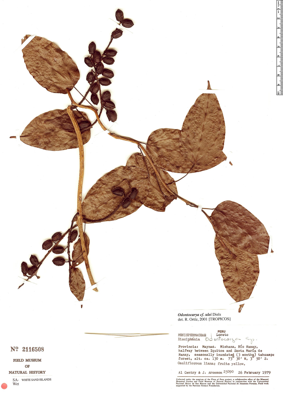 Specimen: Odontocarya ulei