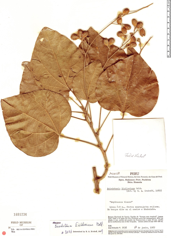 Specimen: Sciadotenia eichleriana