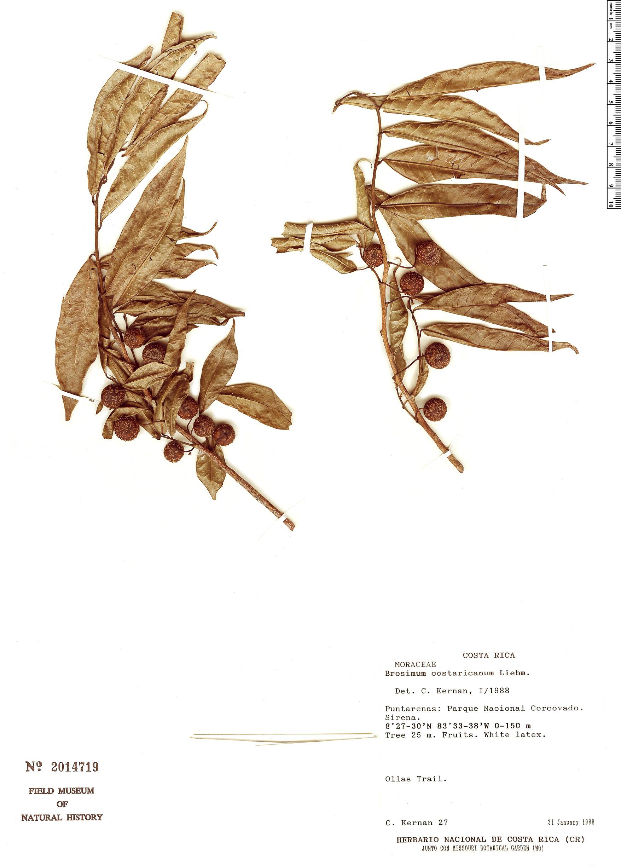 Specimen: Brosimum costaricanum