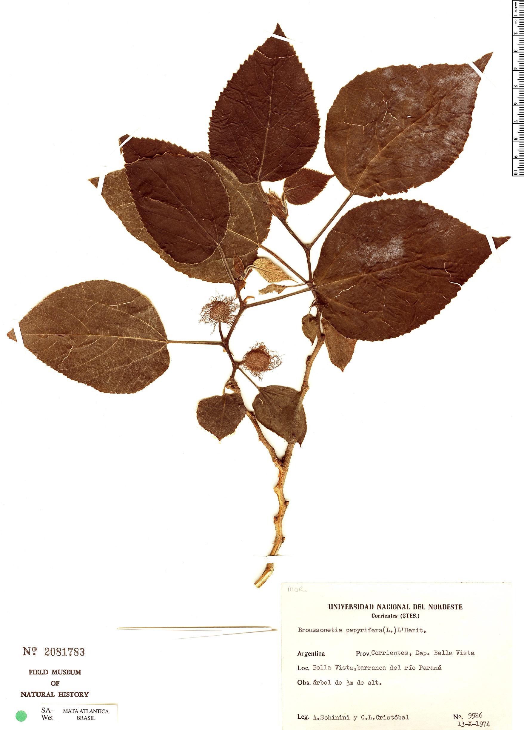 Specimen: Broussonetia papyrifera