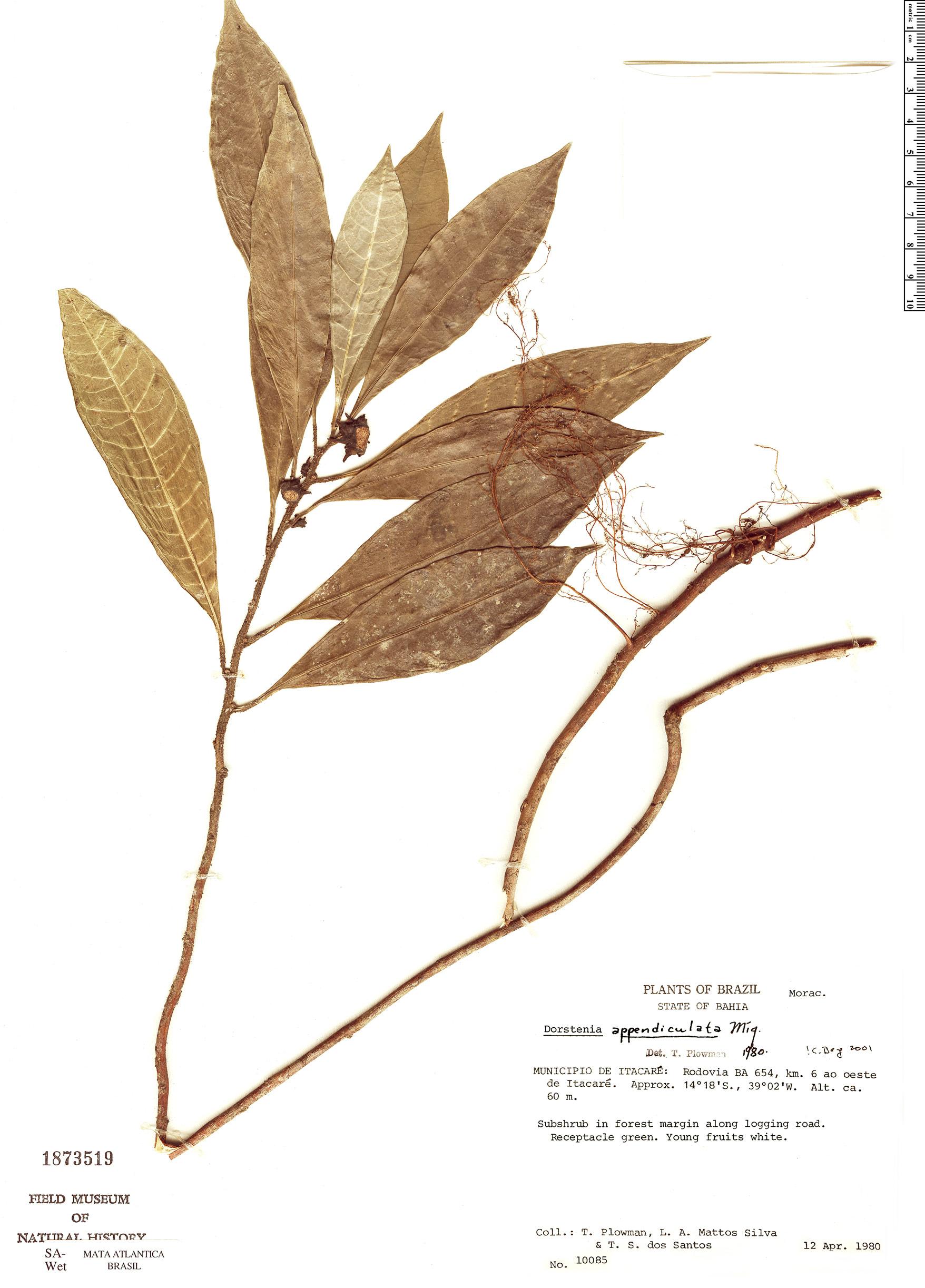 Specimen: Dorstenia appendiculata