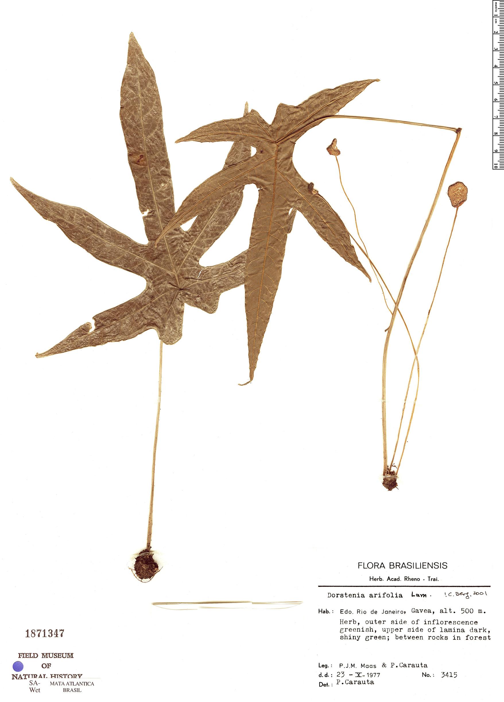 Specimen: Dorstenia arifolia