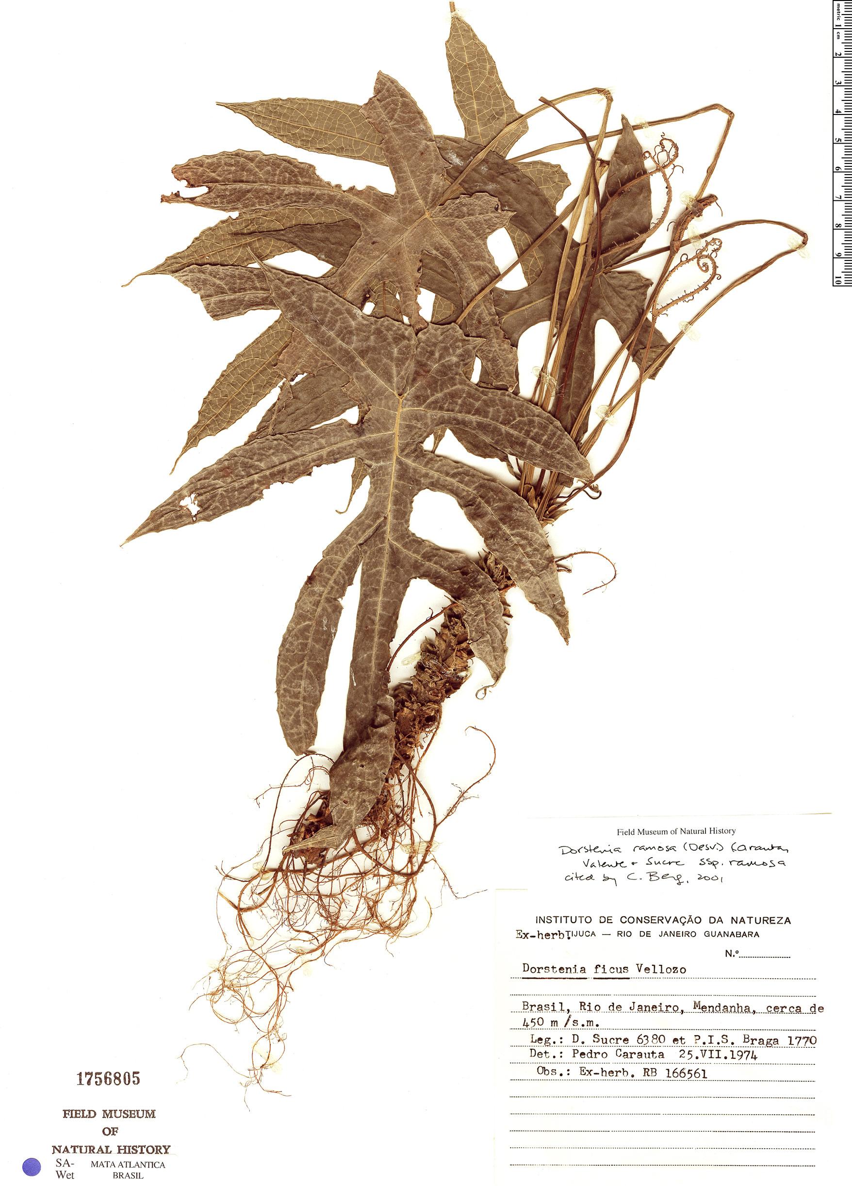 Specimen: Dorstenia ramosa