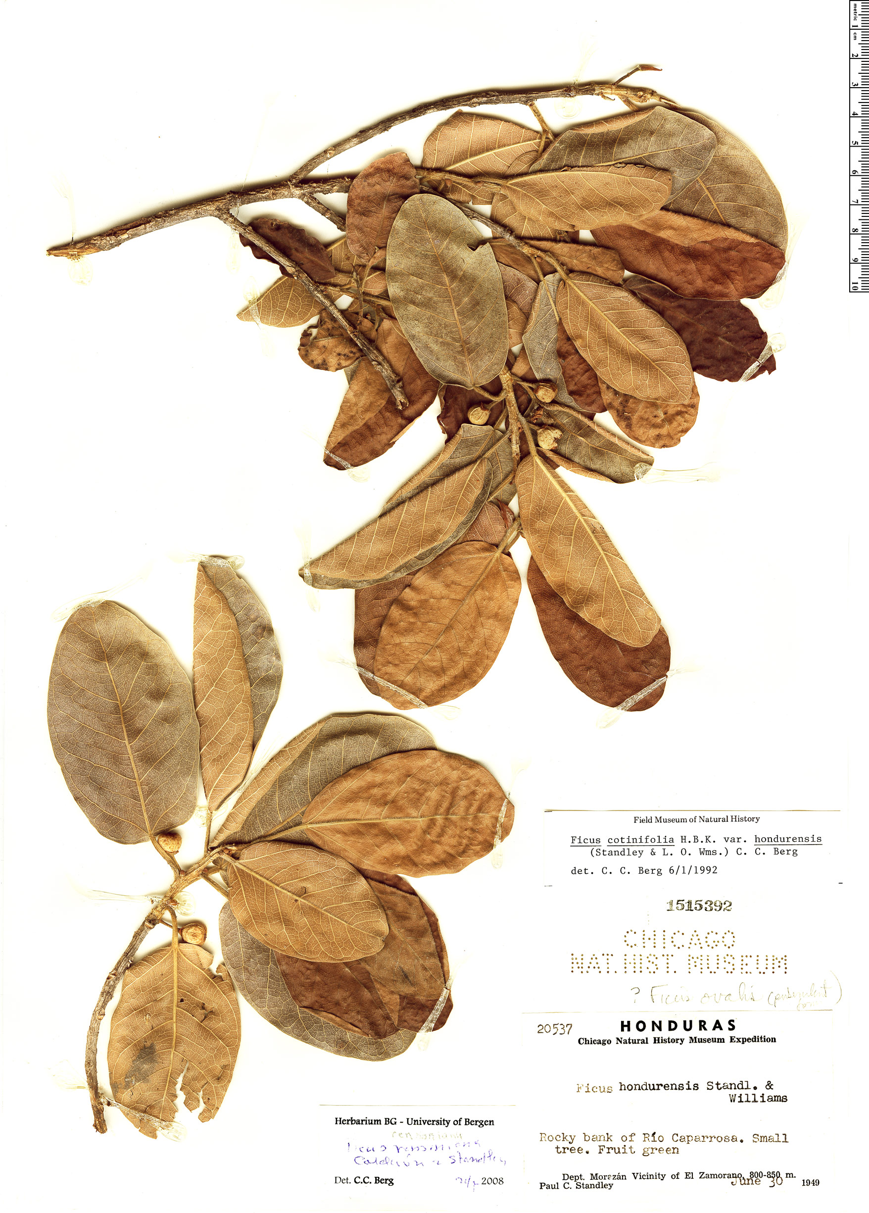 Specimen: Ficus cotinifolia