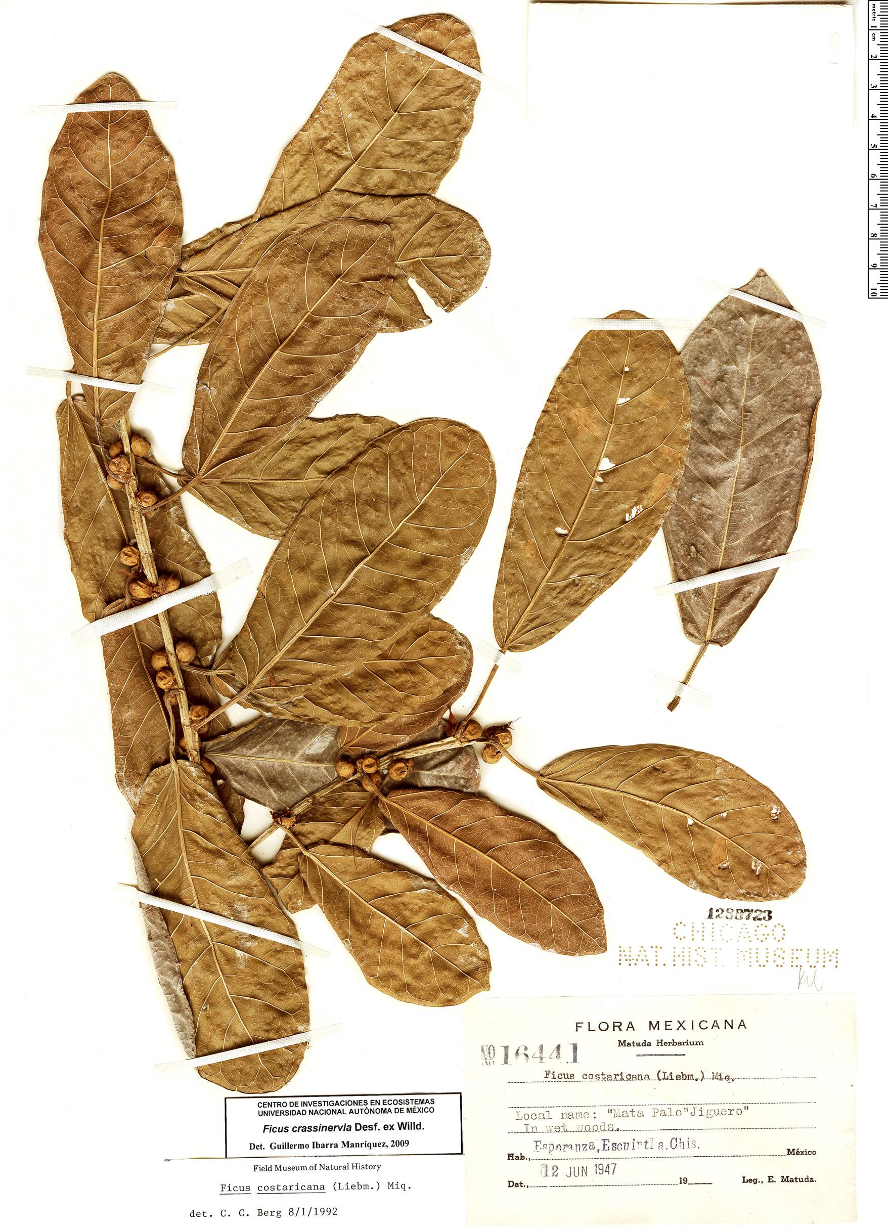 Ficus trigonata image
