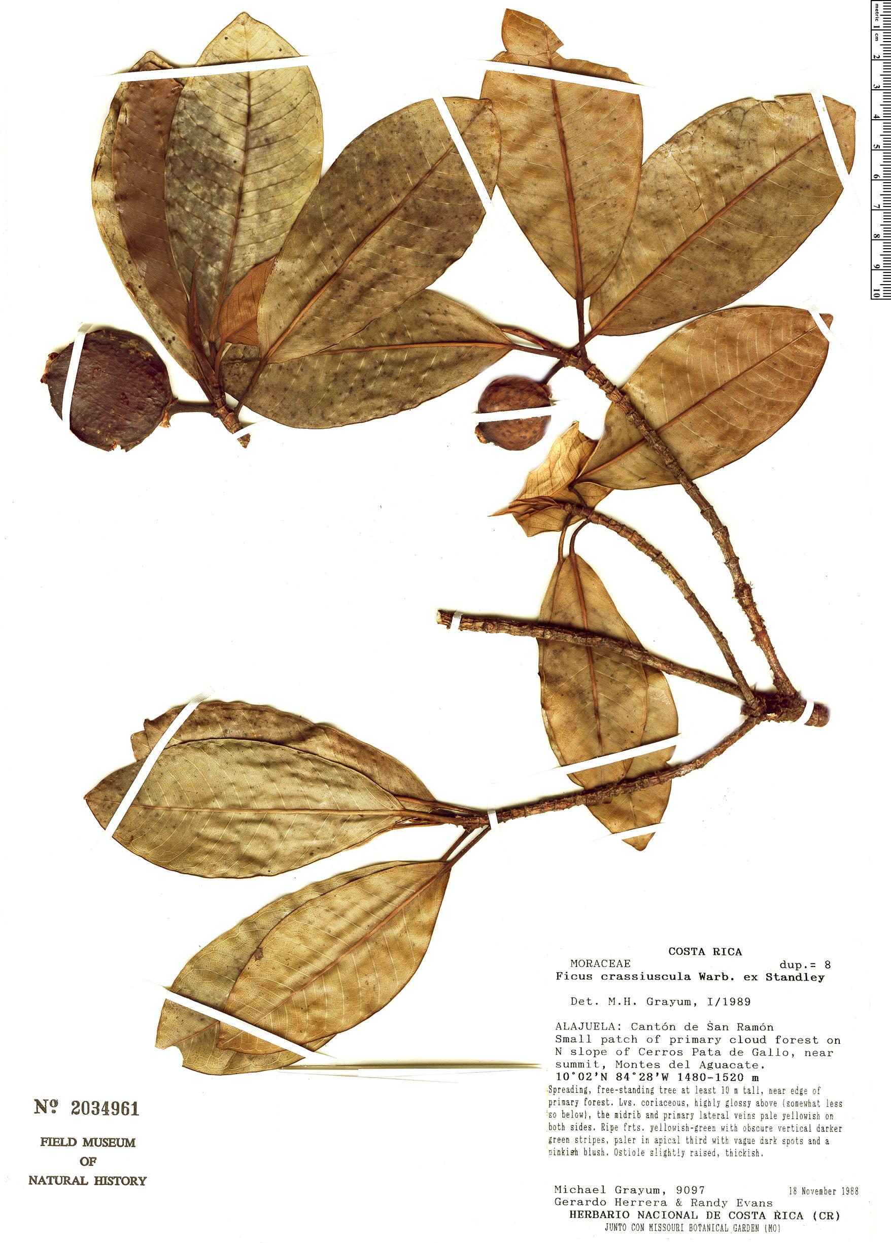 Specimen: Ficus crassiuscula