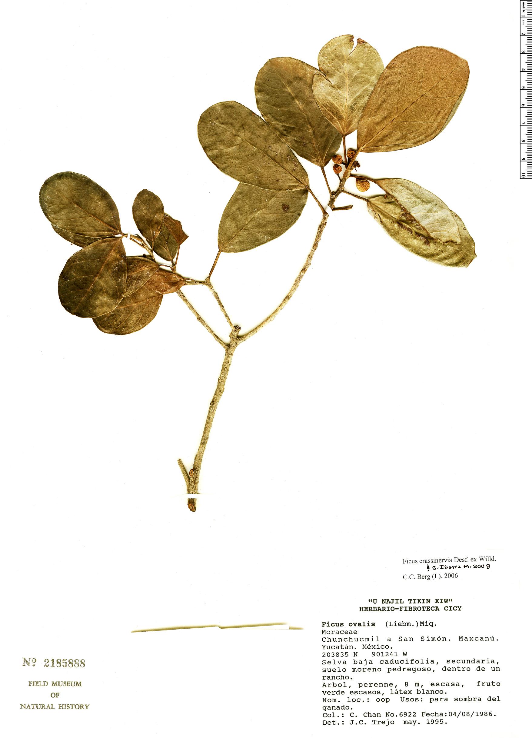Specimen: Ficus crassinervia