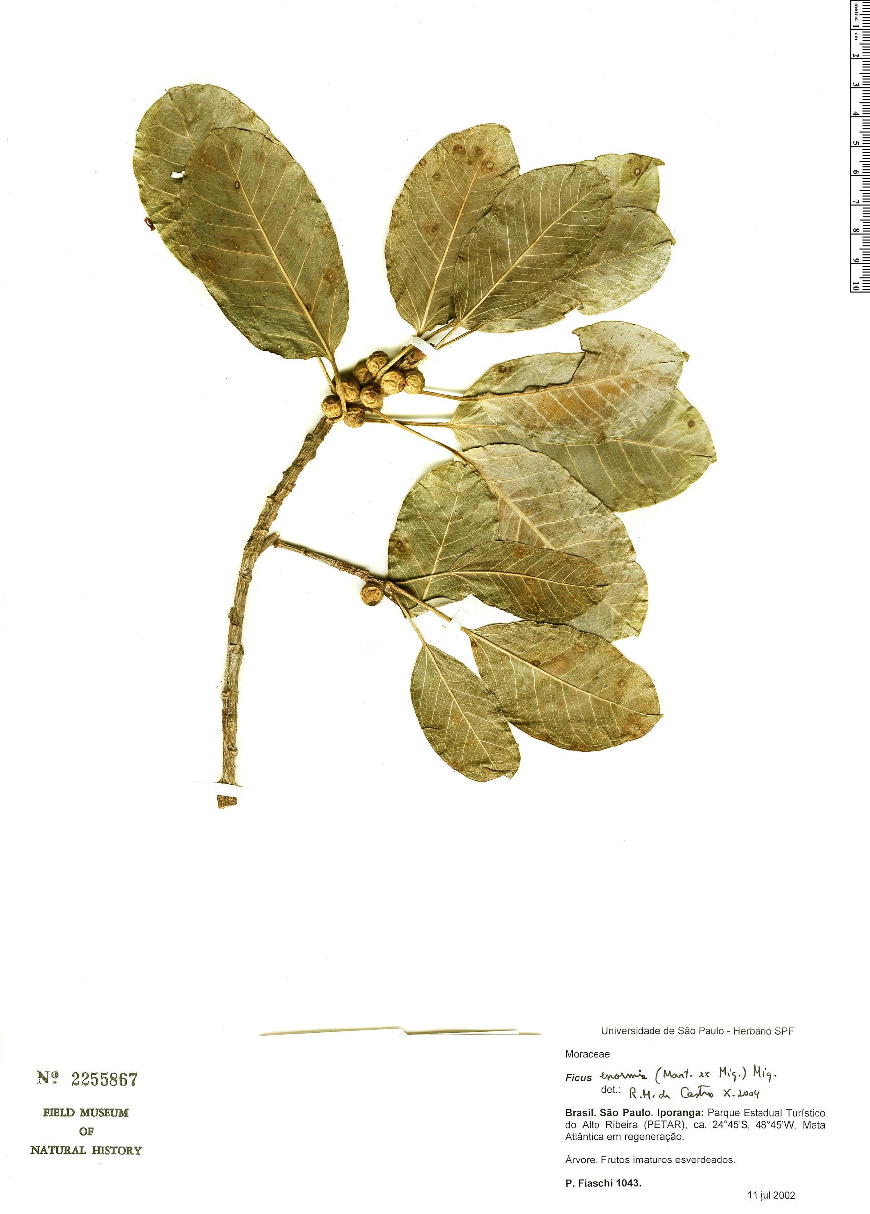 Specimen: Ficus enormis