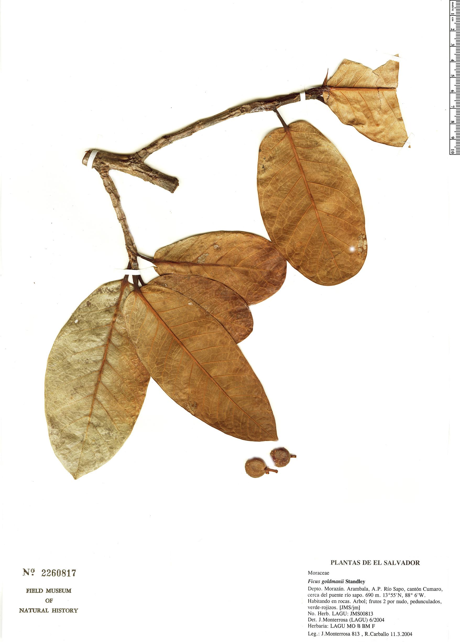 Specimen: Ficus goldmanii