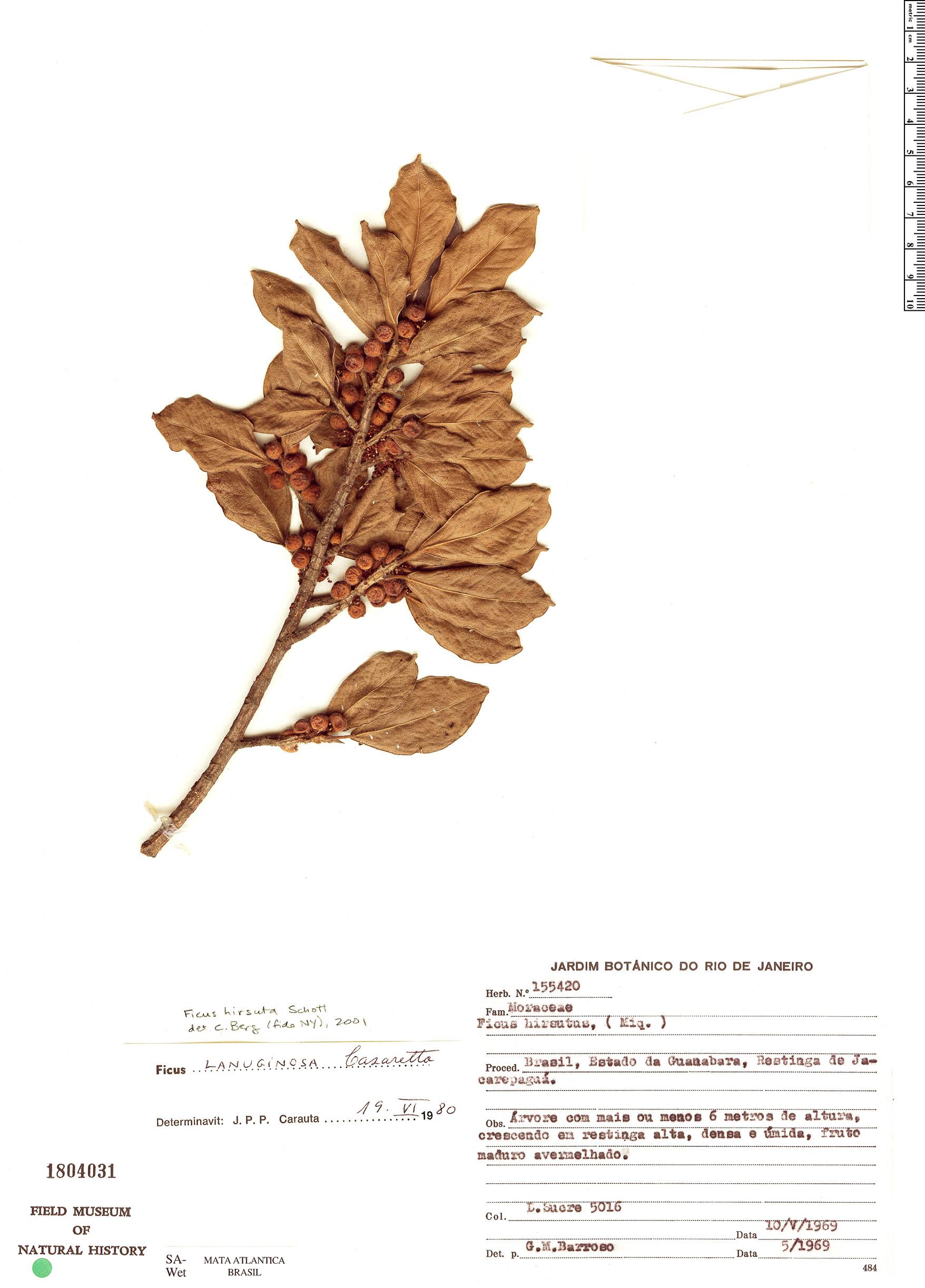 Espécime: Ficus hirsuta