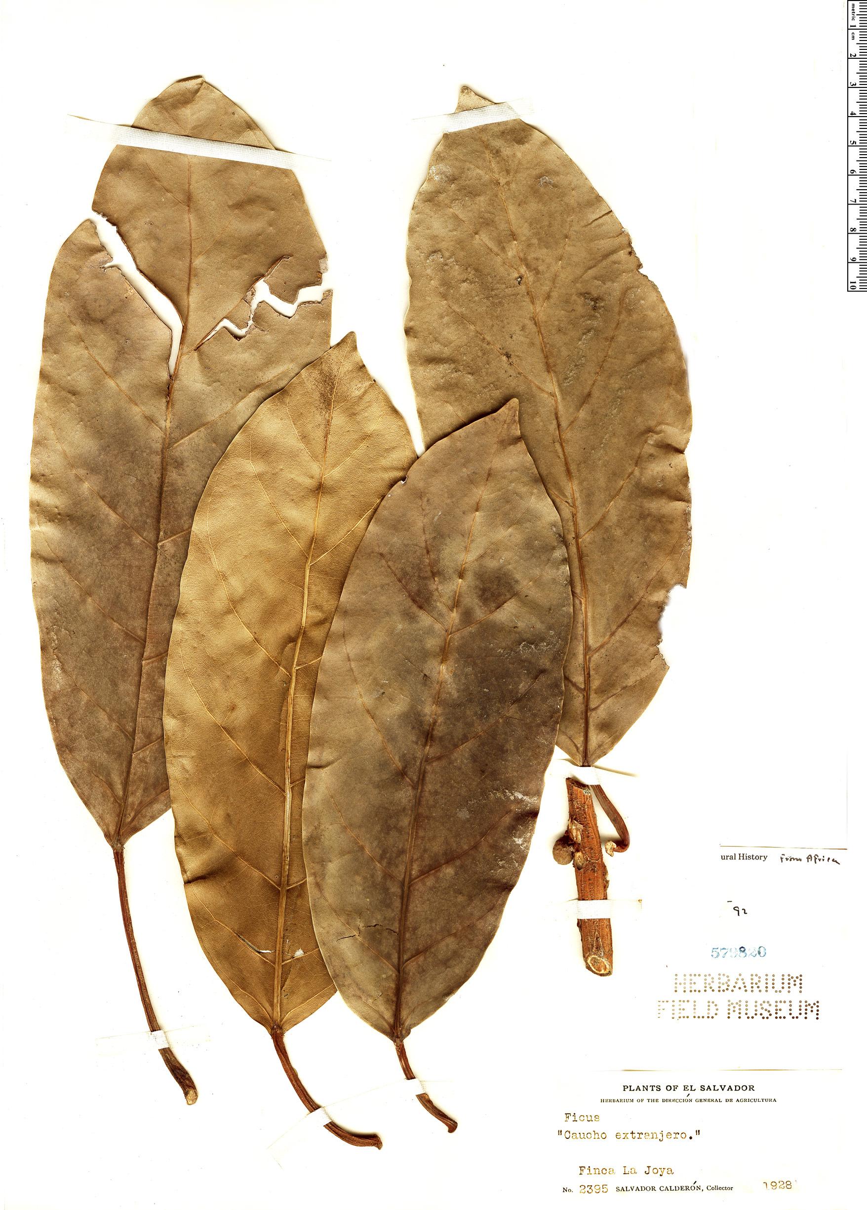 Specimen: Ficus lutea