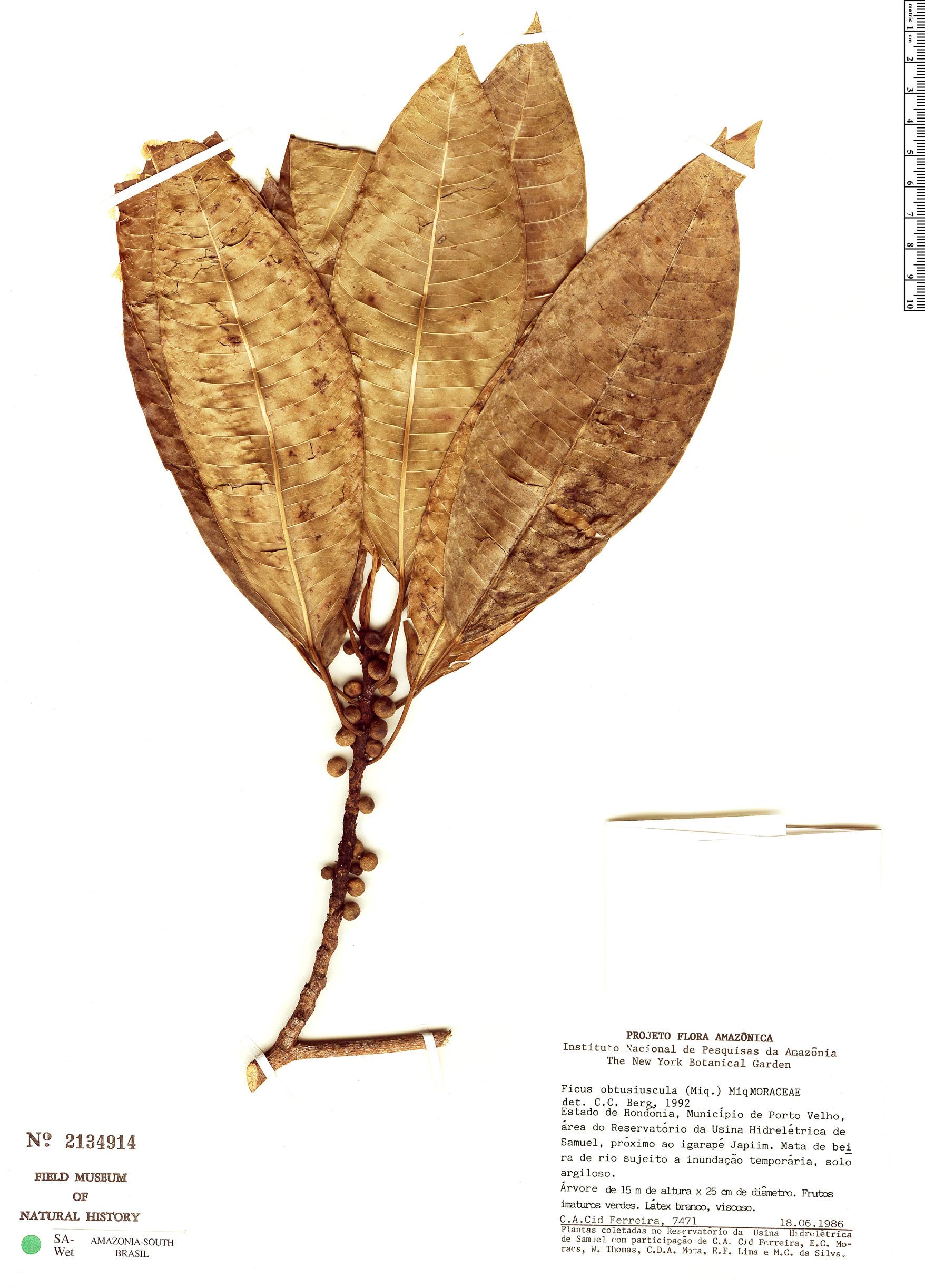 Espécime: Ficus obtusiuscula