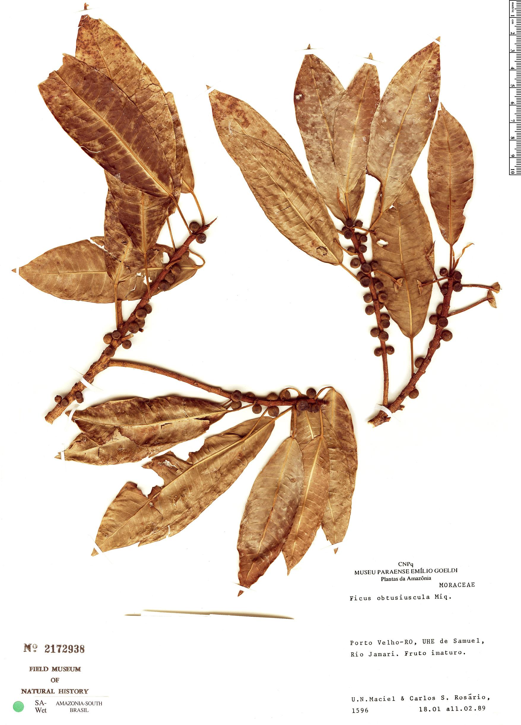 Espécimen: Ficus obtusiuscula
