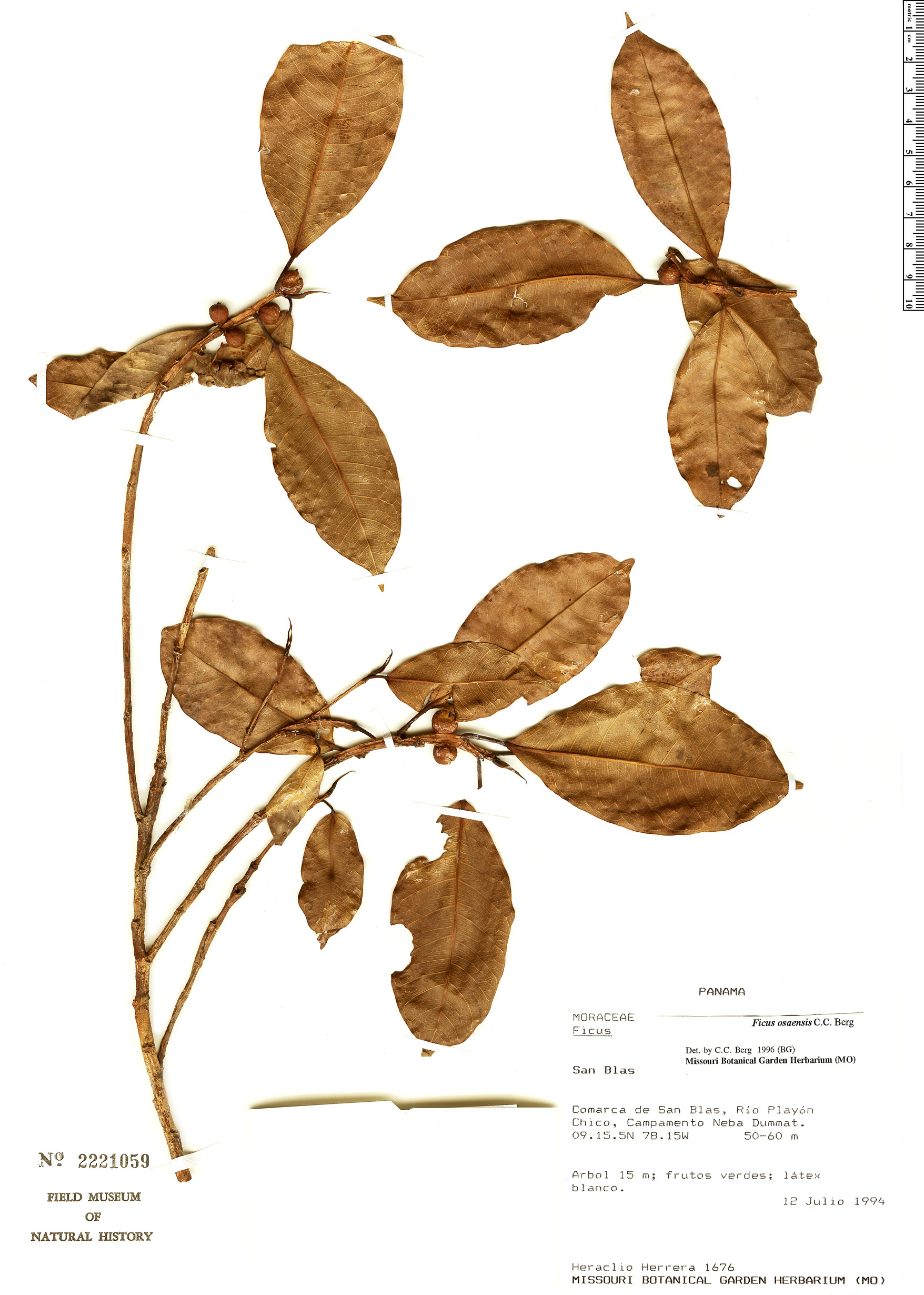 Specimen: Ficus osensis