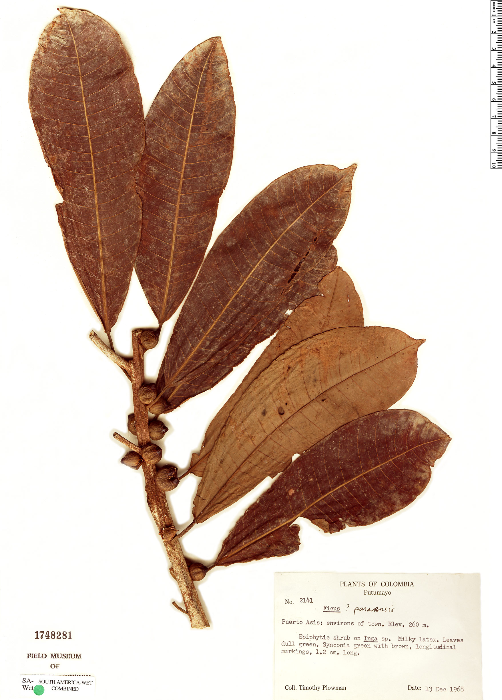 Specimen: Ficus paraensis