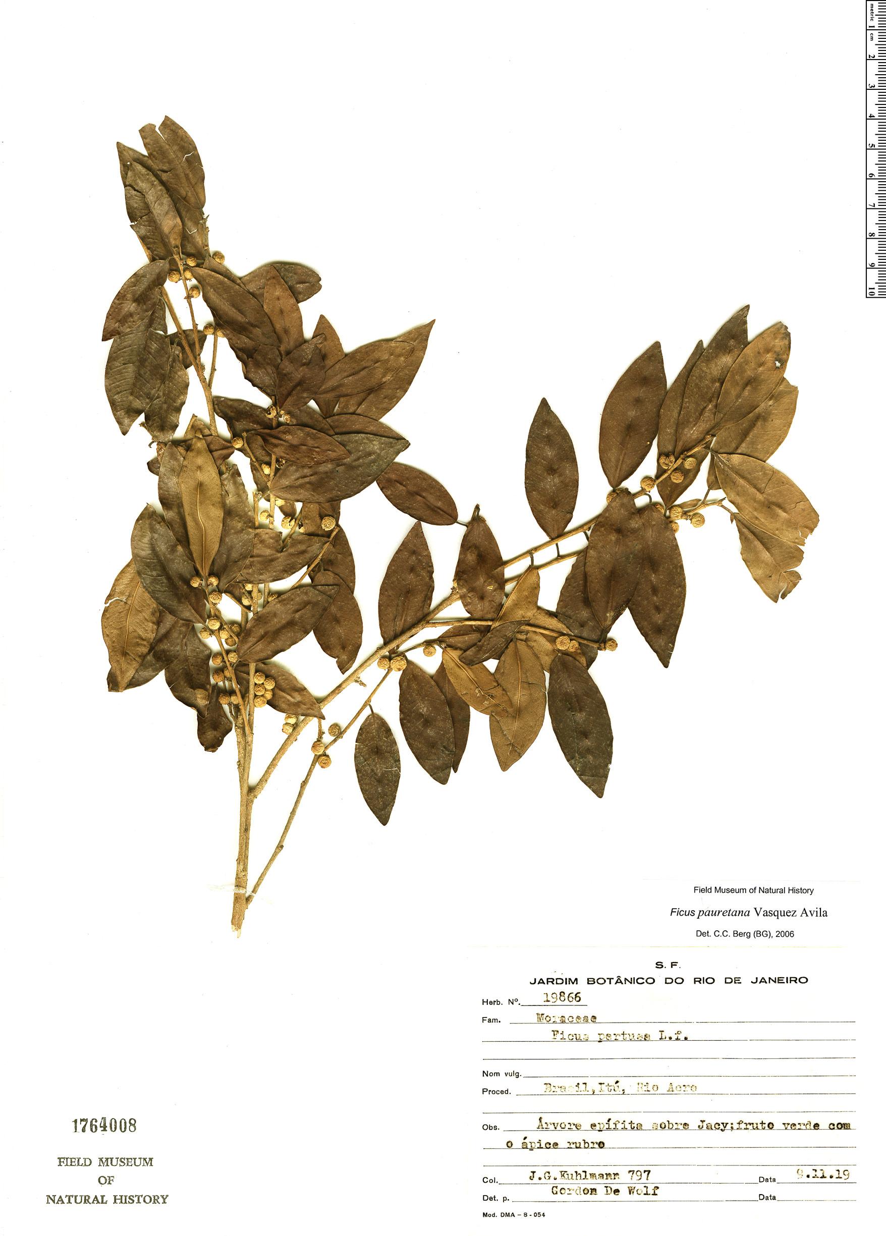 Specimen: Ficus lauretana