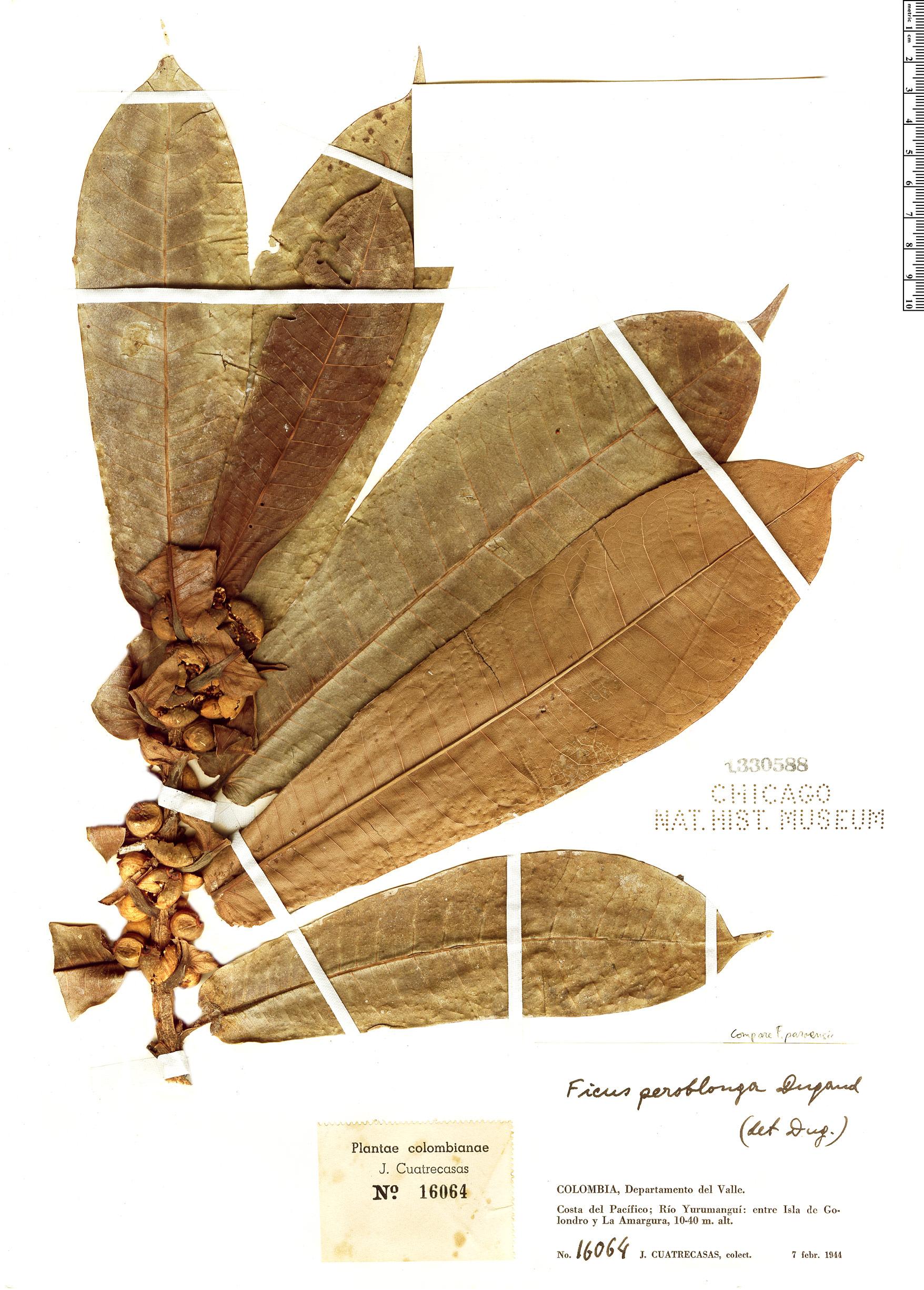 Specimen: Ficus peroblonga