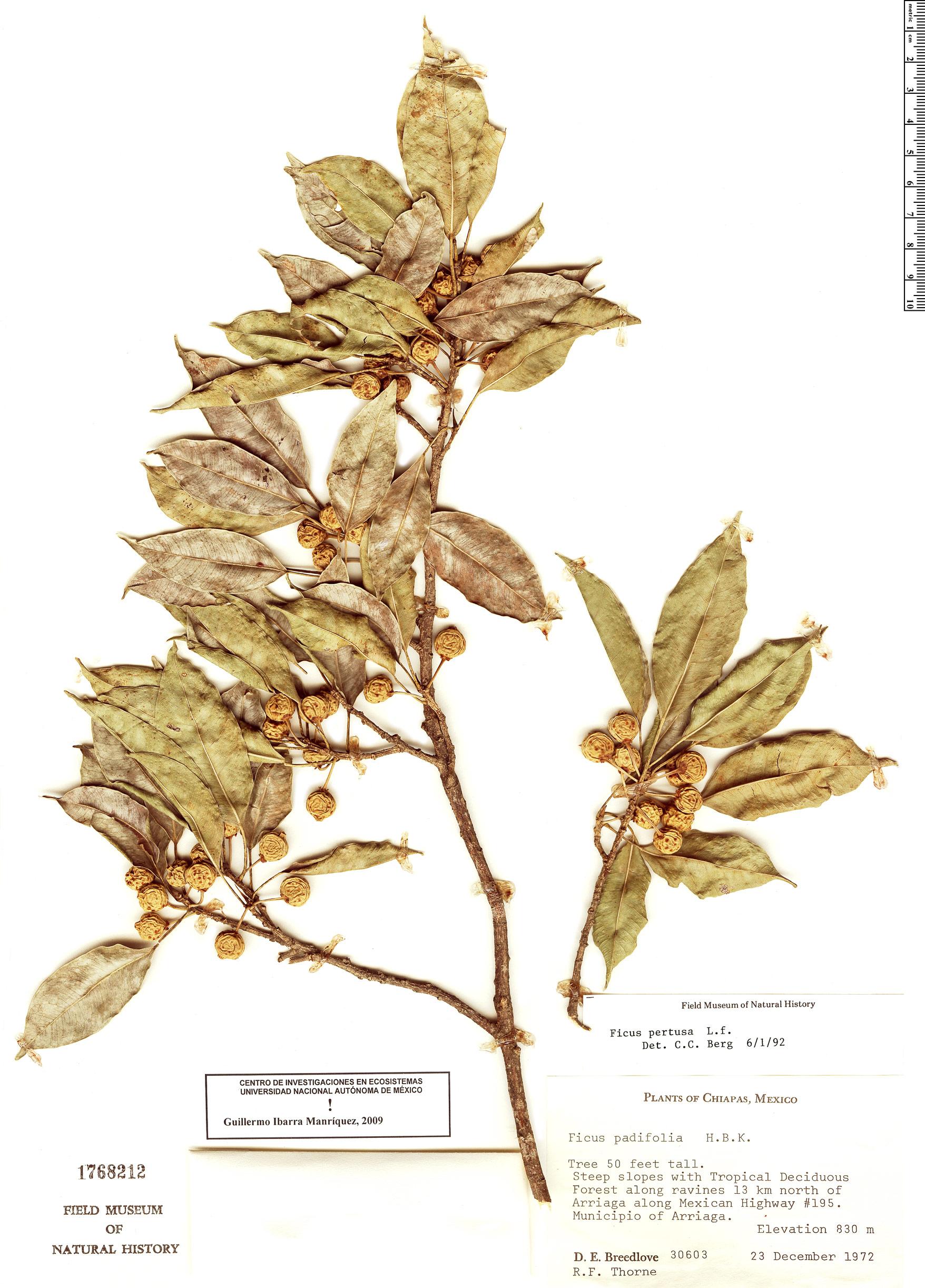 Specimen: Ficus pertusa