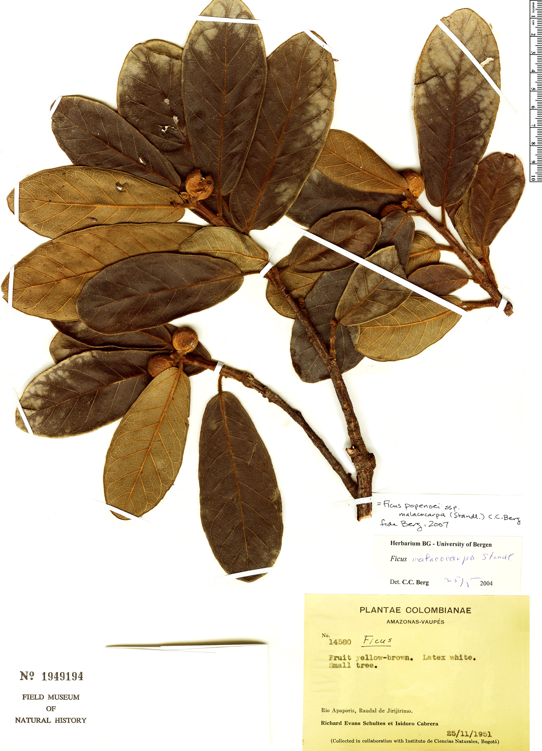 Specimen: Ficus popenoei