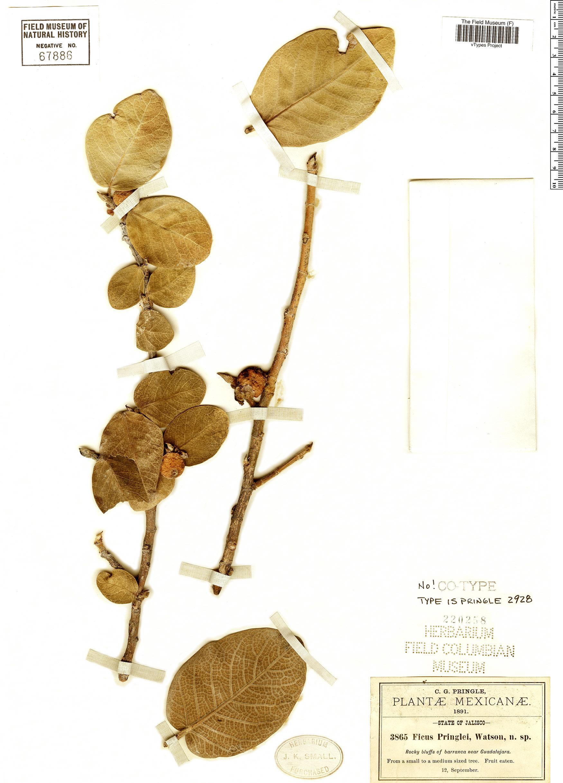 Specimen: Ficus pringlei