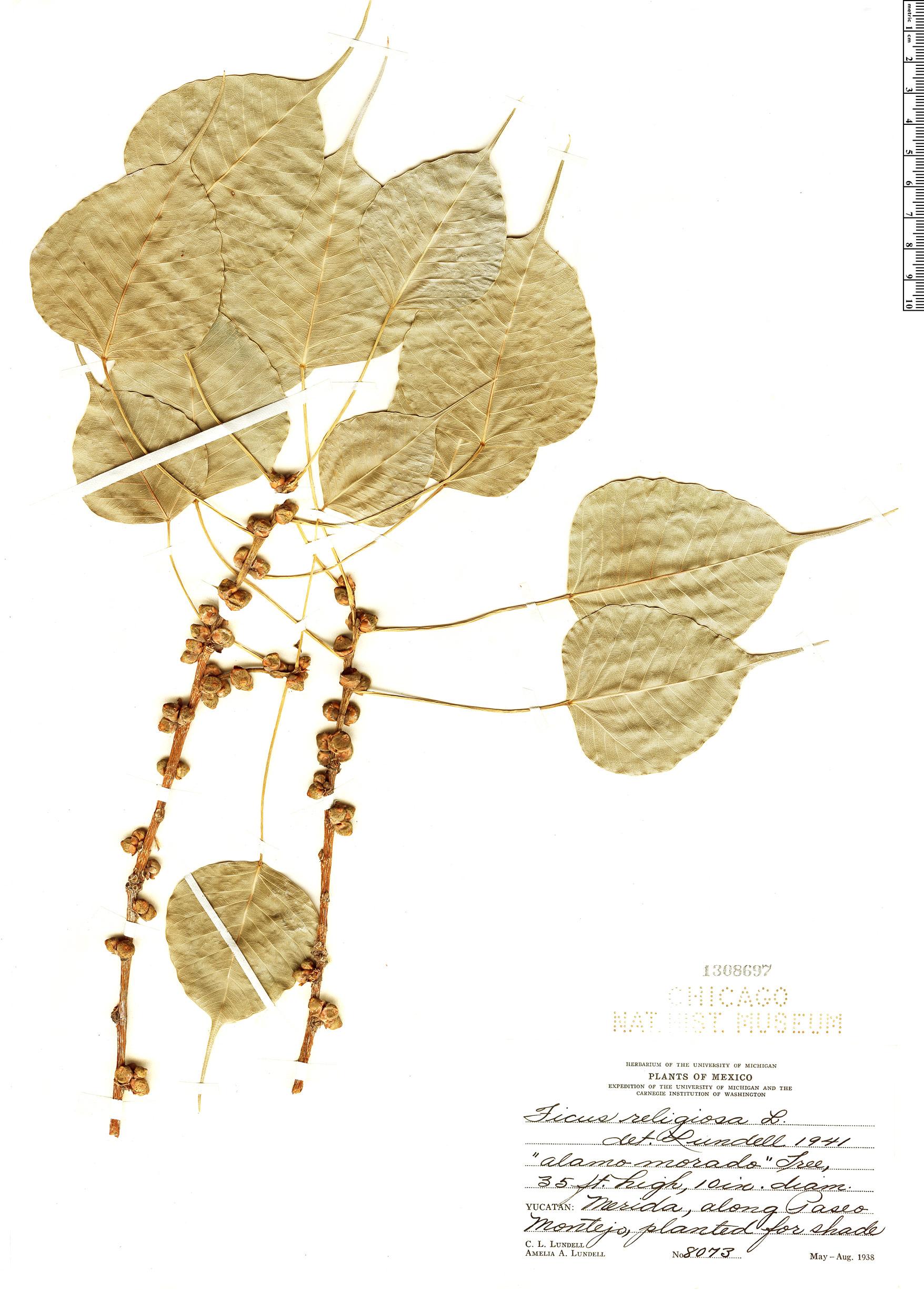 Espécimen: Ficus religiosa