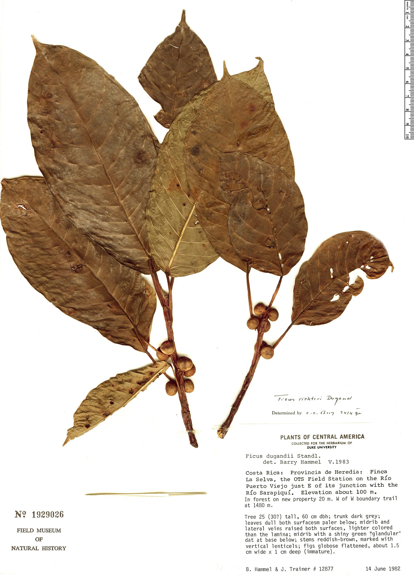Specimen: Ficus richteri