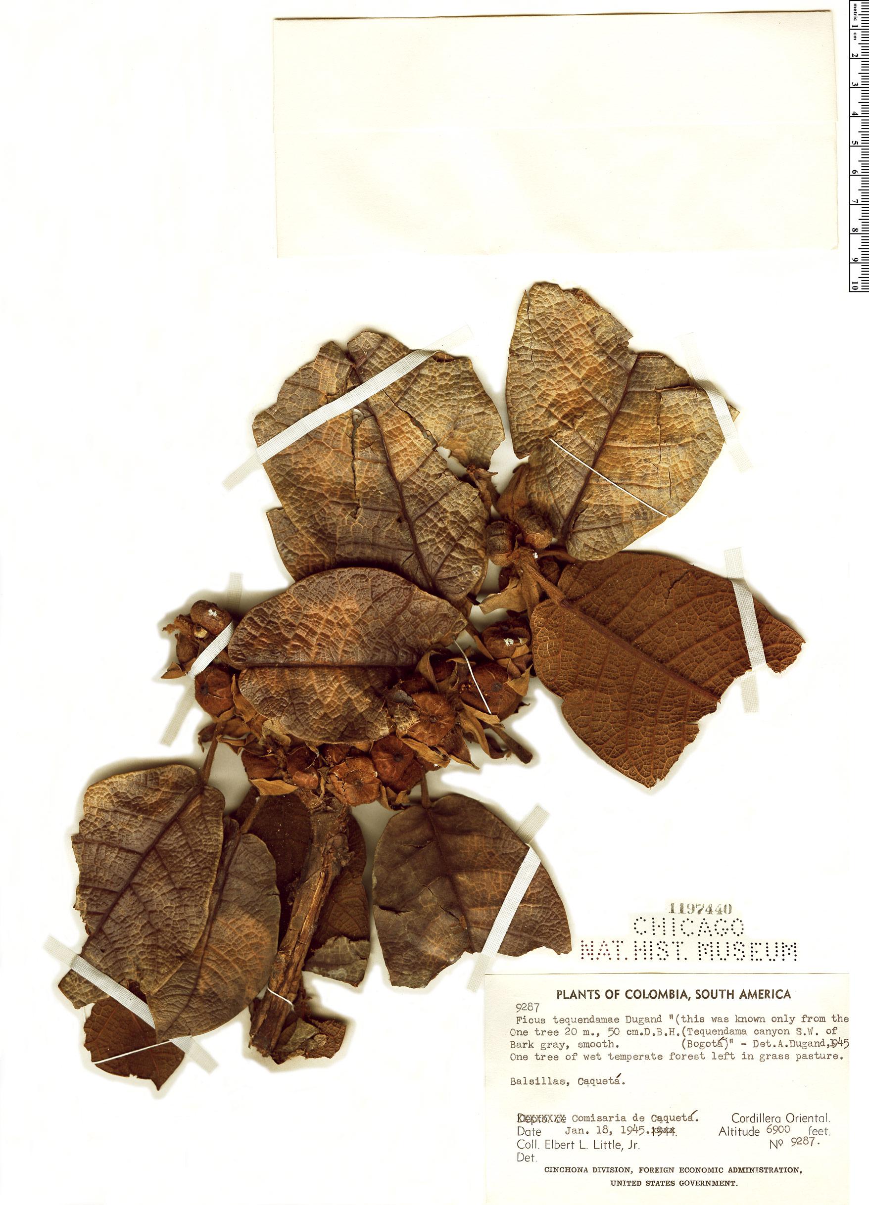 Specimen: Ficus tequendamae