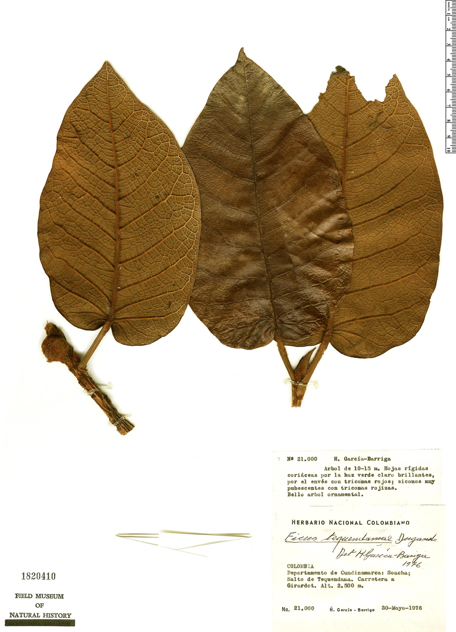 Espécimen: Ficus tequendamae