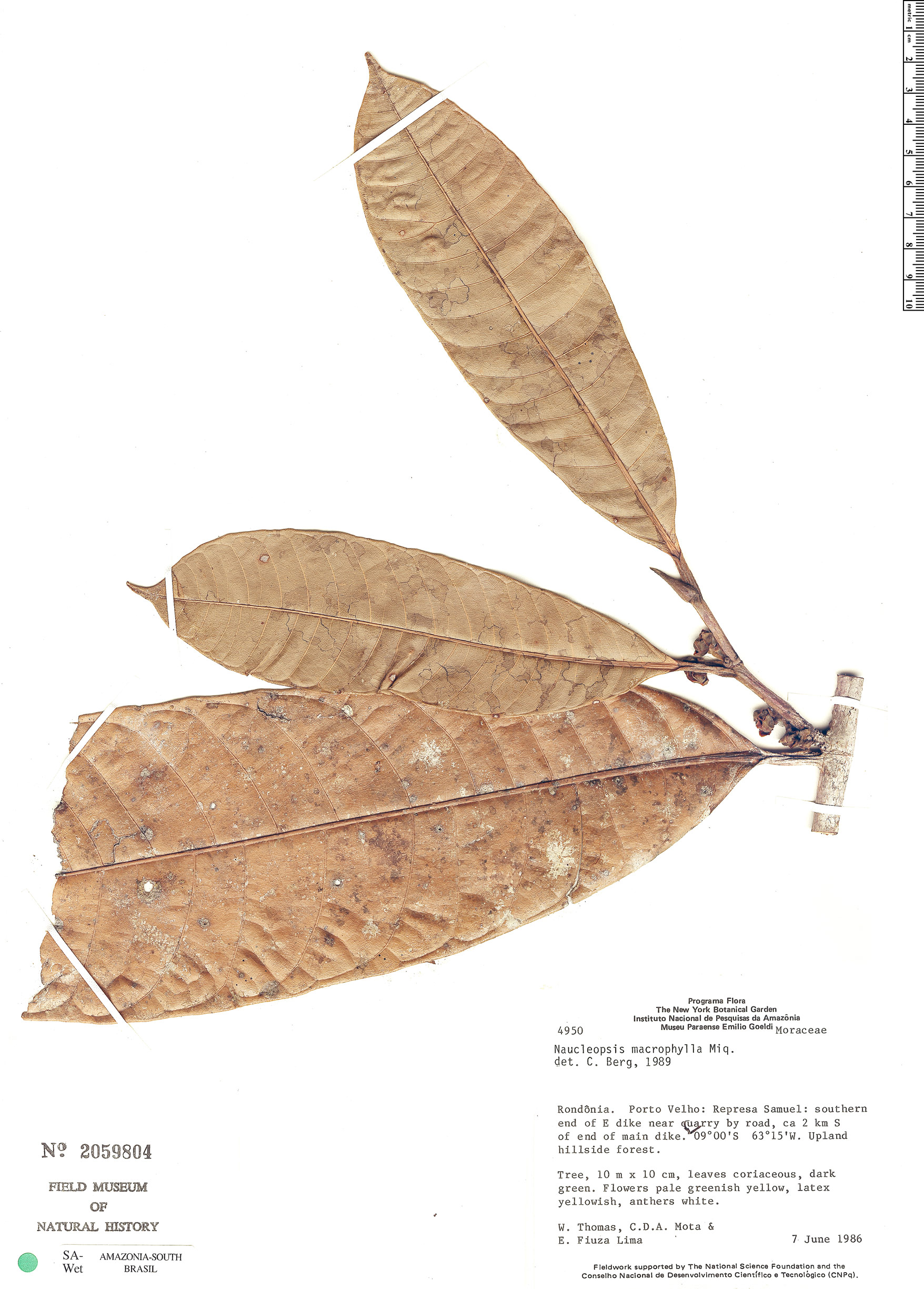 Specimen: Naucleopsis macrophylla