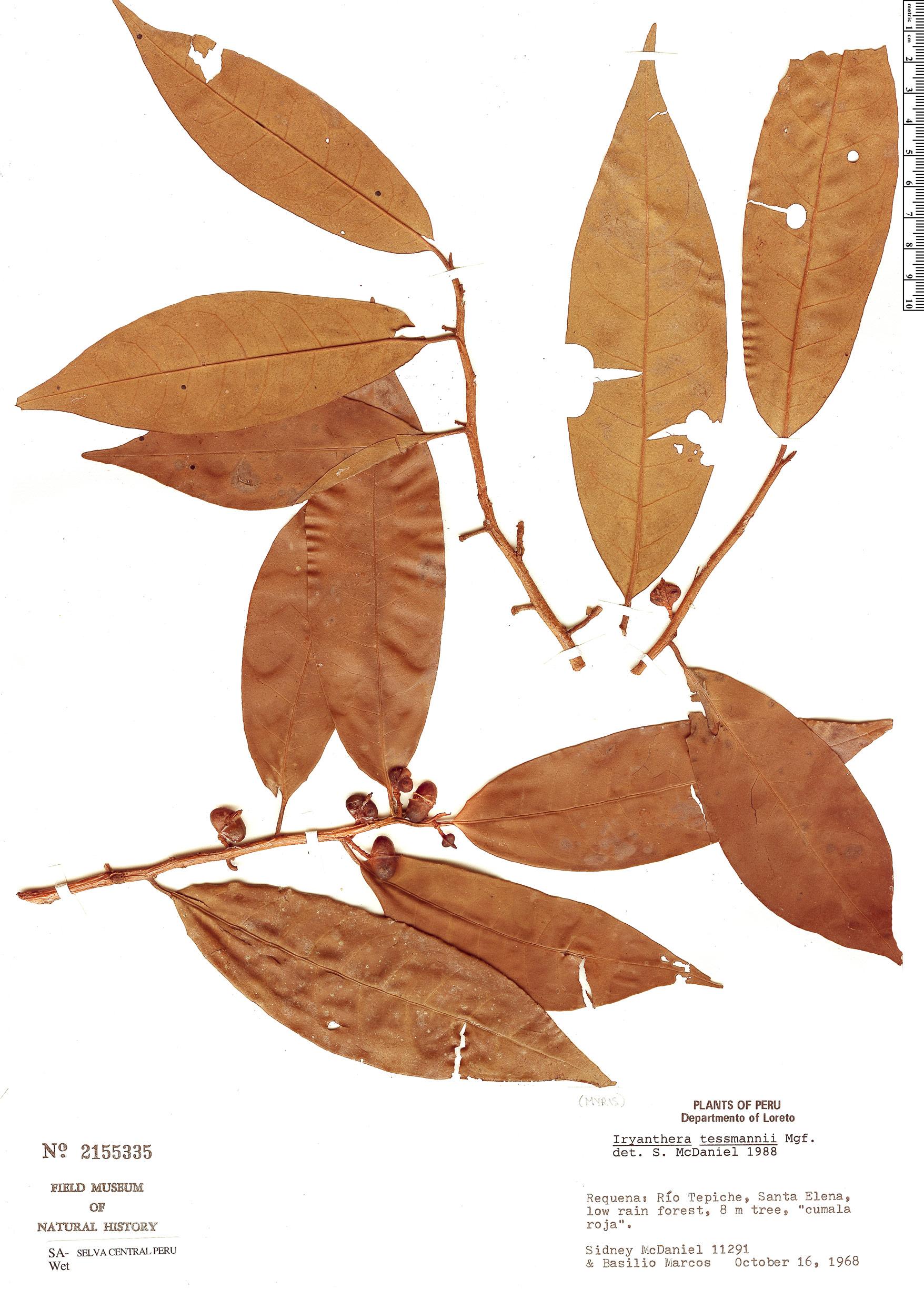 Specimen: Iryanthera tessmannii