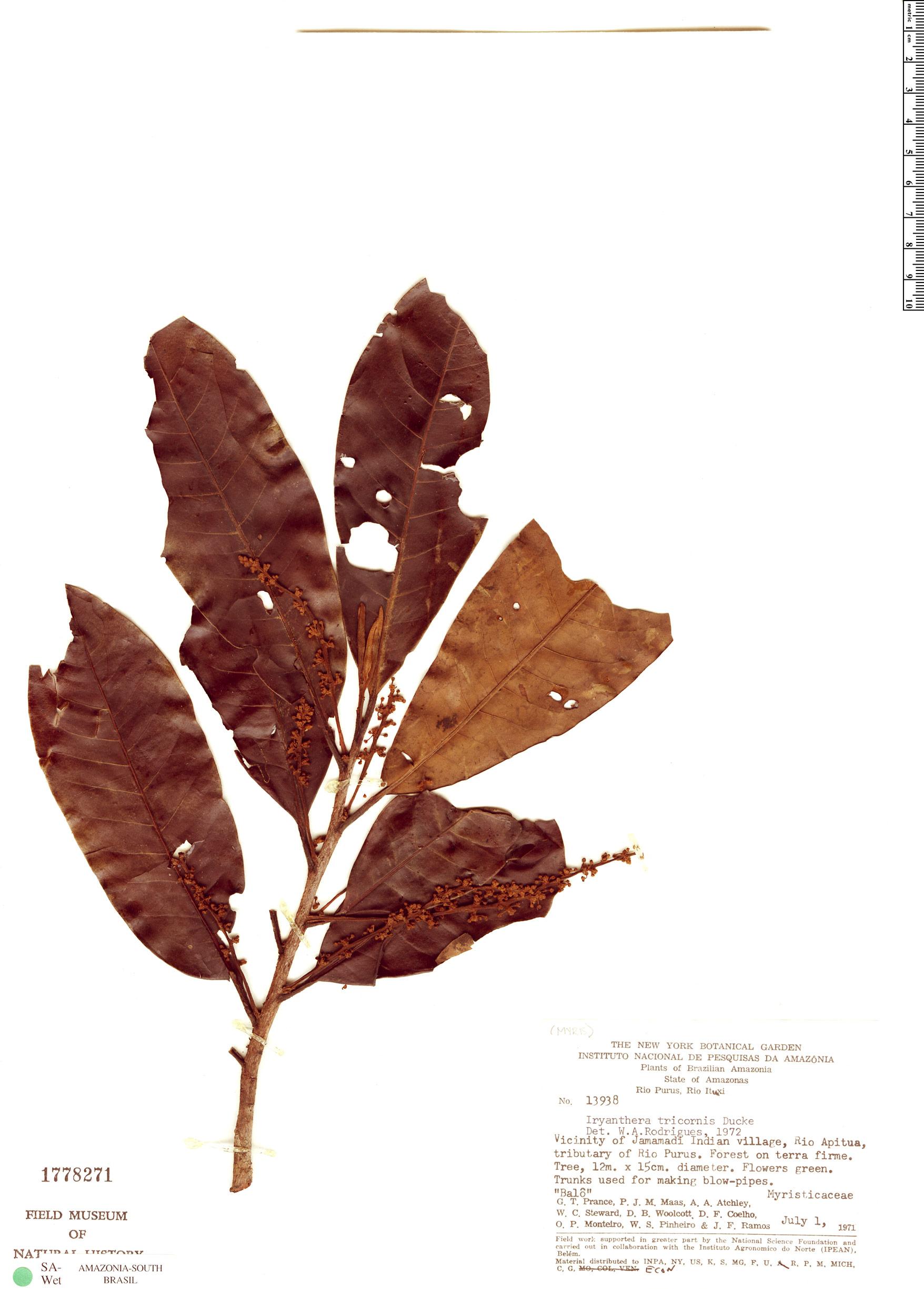 Specimen: Iryanthera tricornis