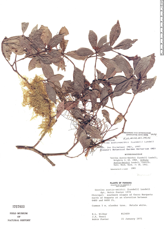 Espécime: Ardisia austin-smithii