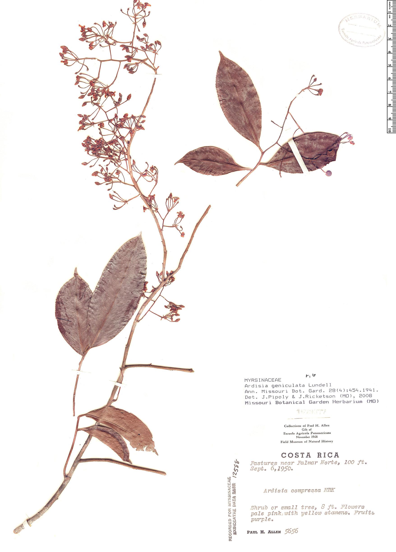 Specimen: Ardisia geniculata