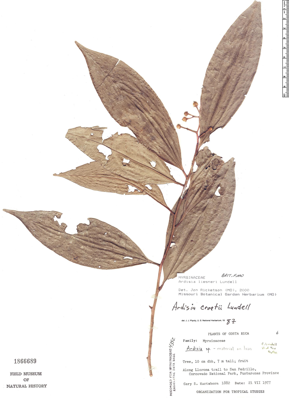 Espécimen: Ardisia liesneri