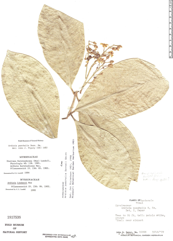 Specimen: Ardisia paschalis