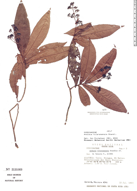 Specimen: Ardisia tilaranensis
