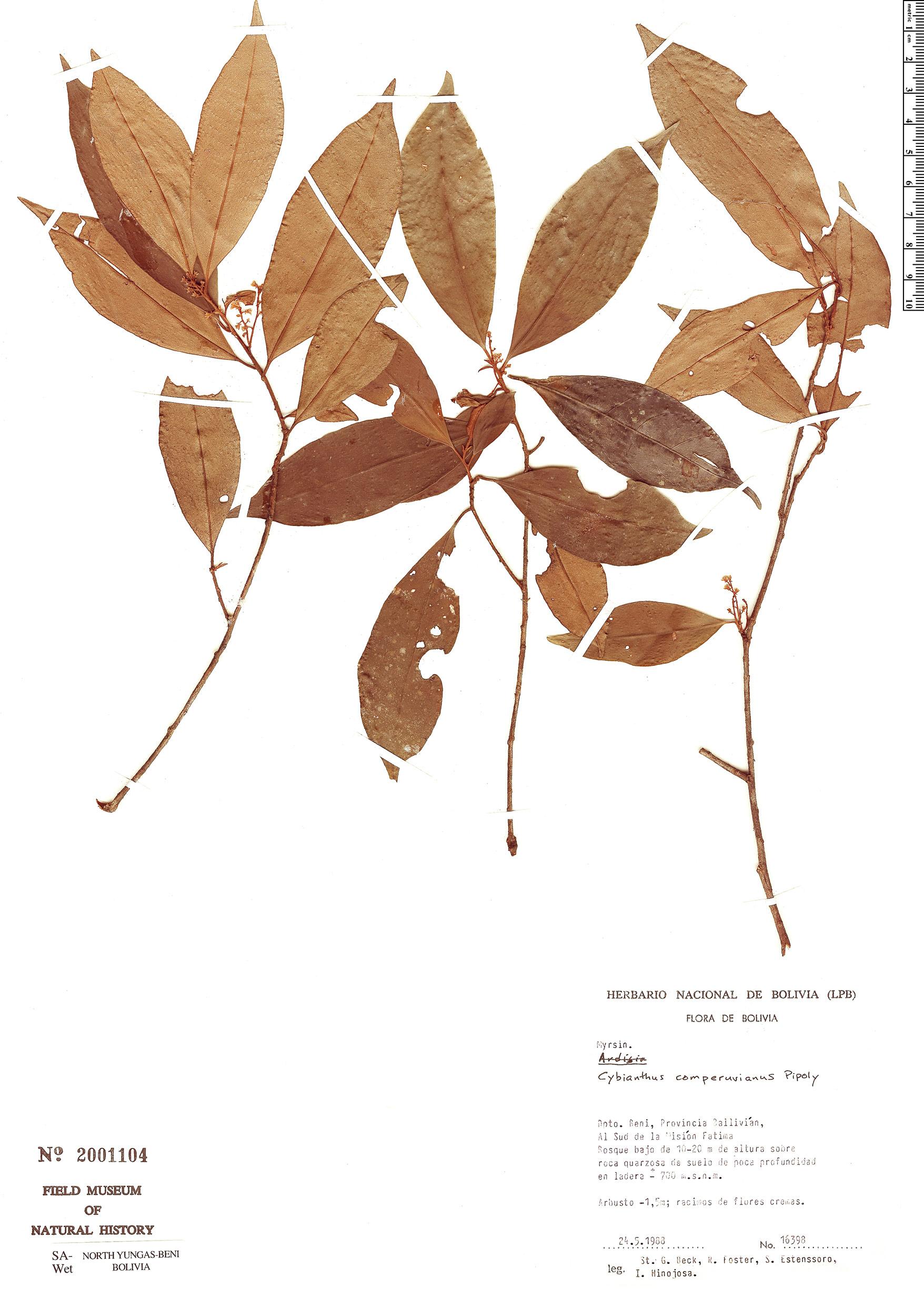Specimen: Cybianthus comperuvianus