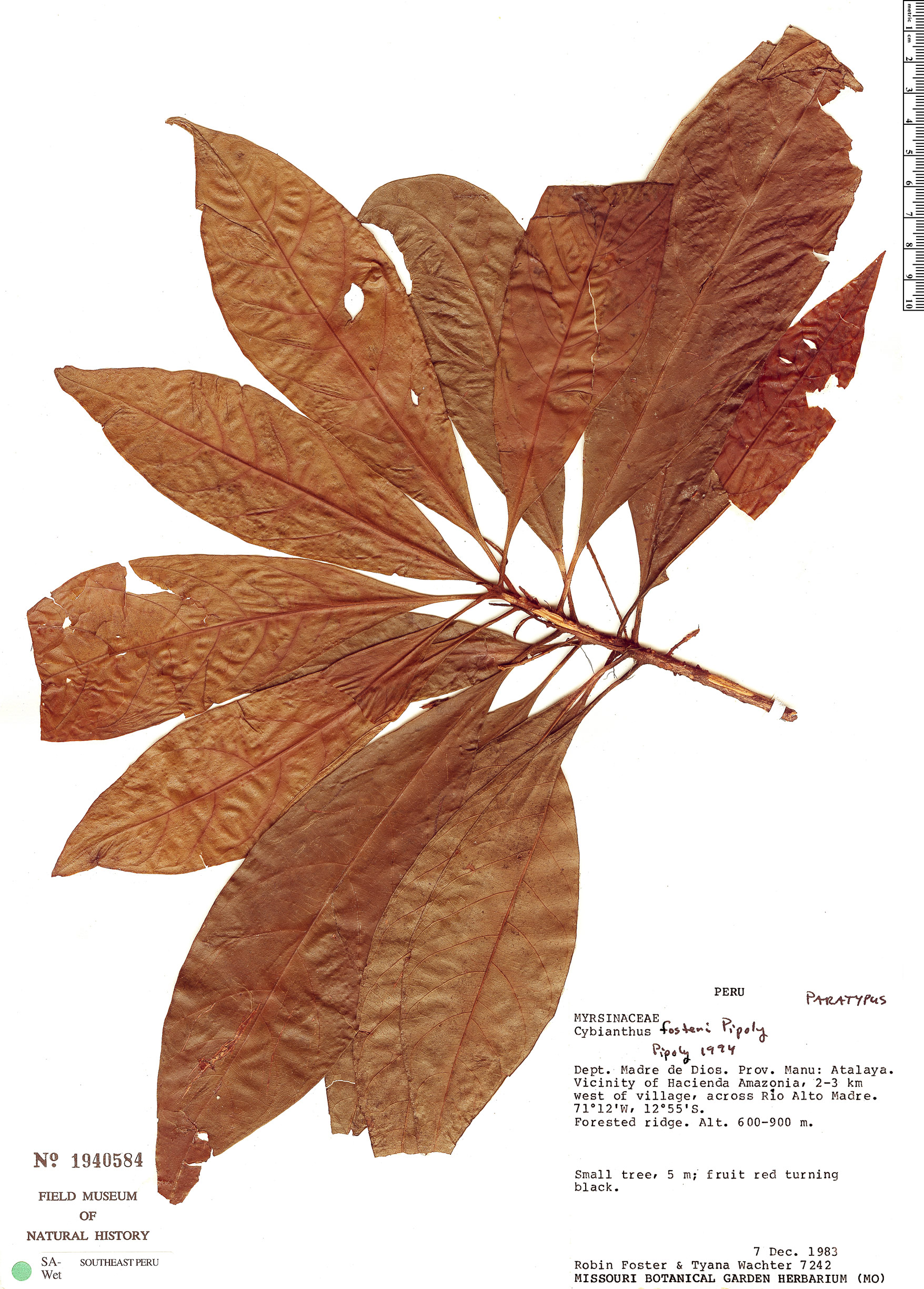 Specimen: Cybianthus fosteri