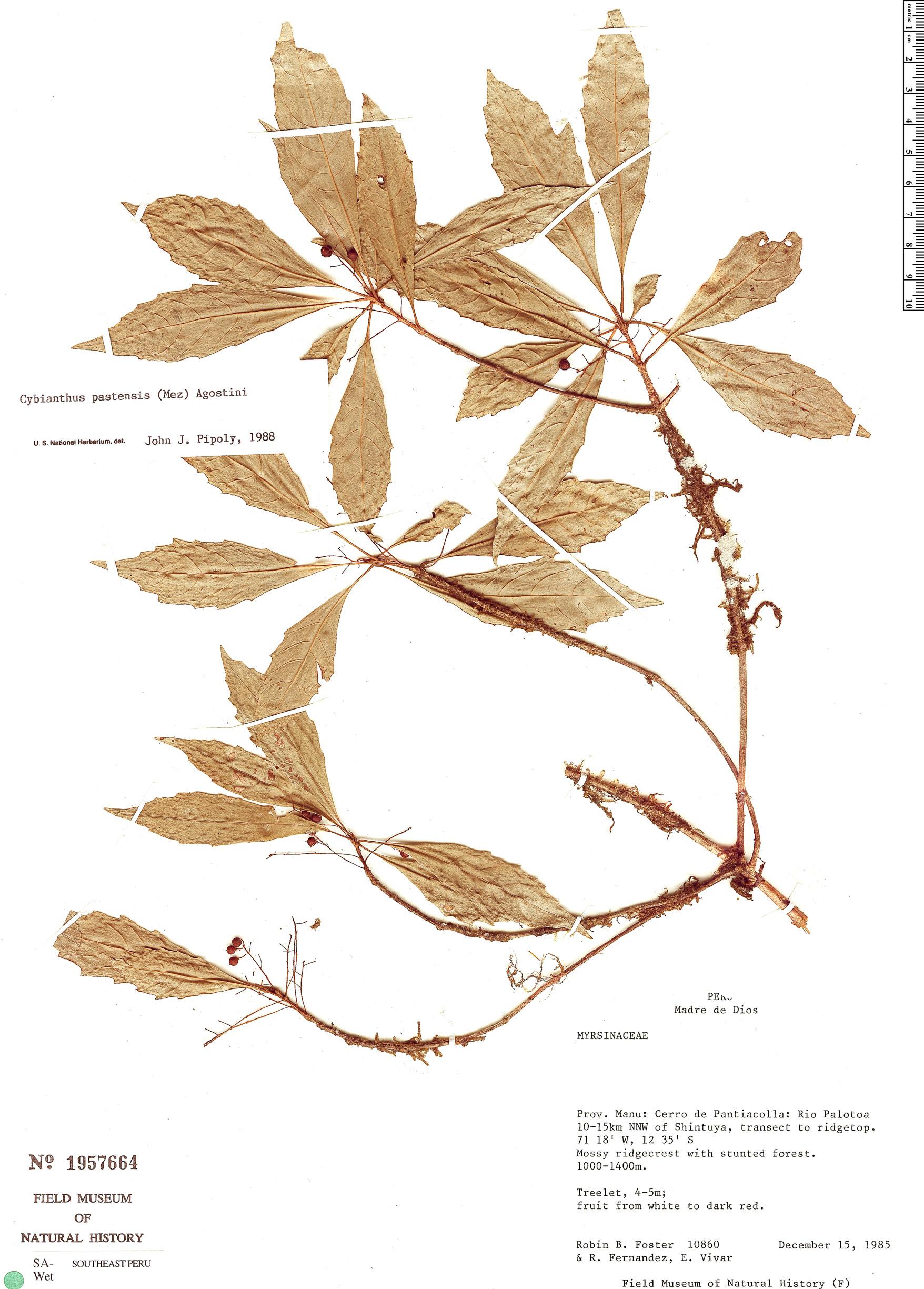Specimen: Cybianthus pastensis