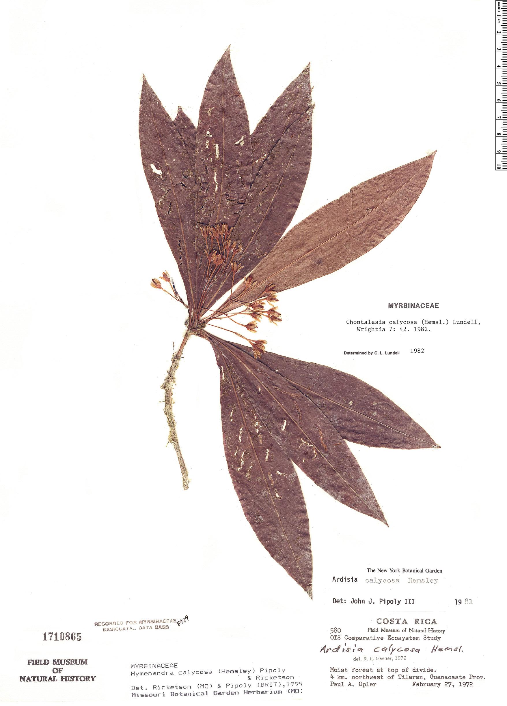 Espécimen: Hymenandra calycosa