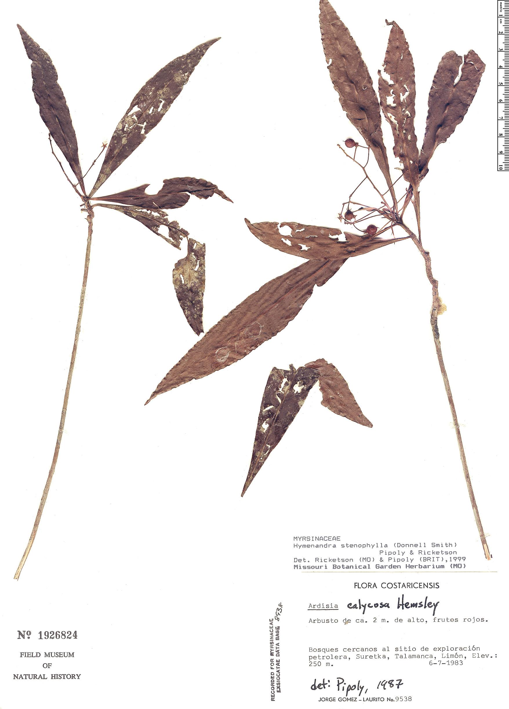 Specimen: Hymenandra stenophylla