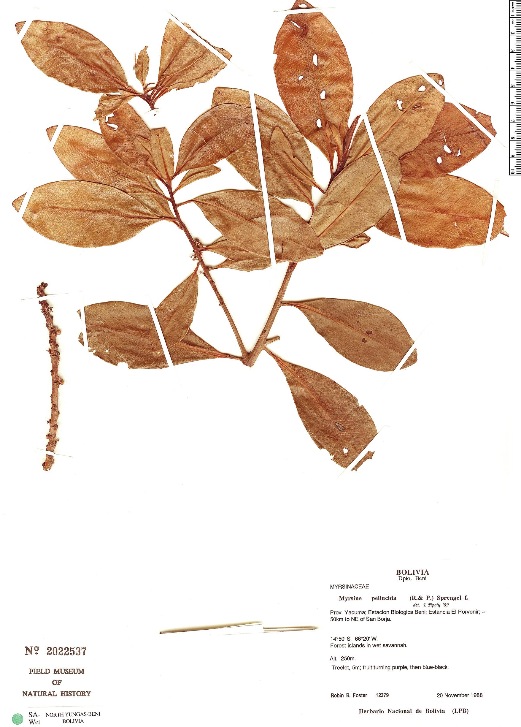 Specimen: Myrsine pellucida
