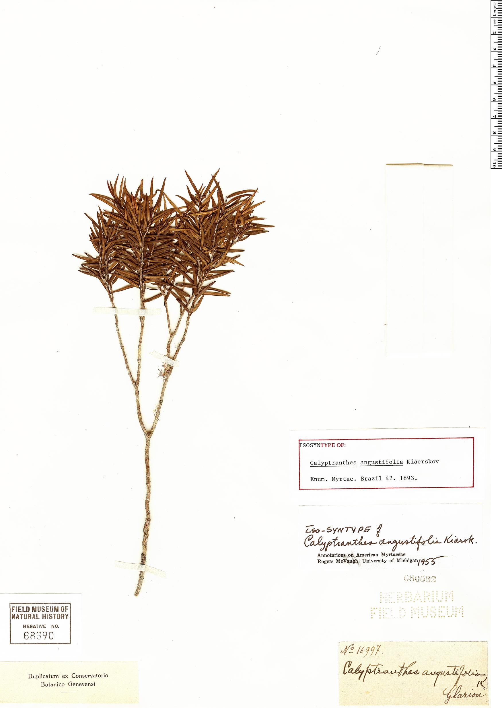 Specimen: Calyptranthes angustifolia
