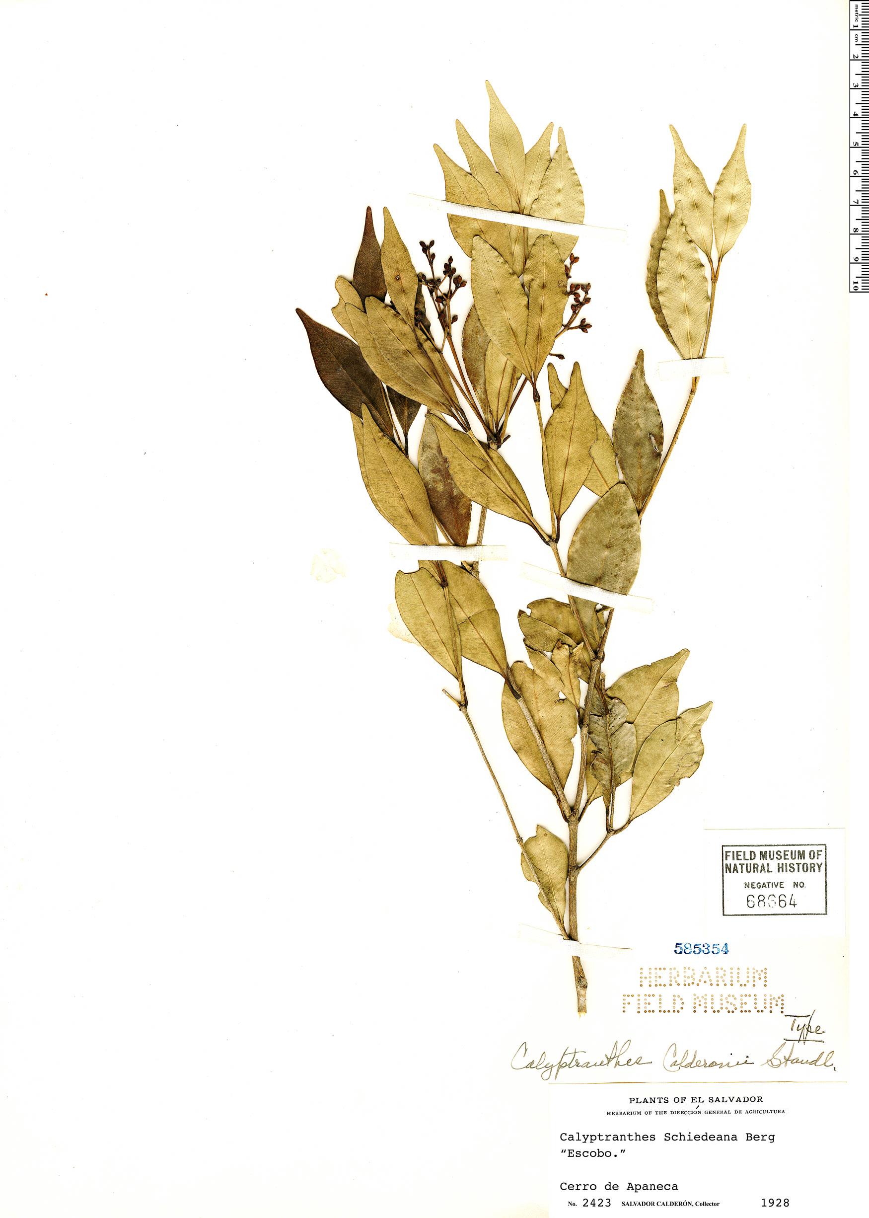 Specimen: Calyptranthes calderonii