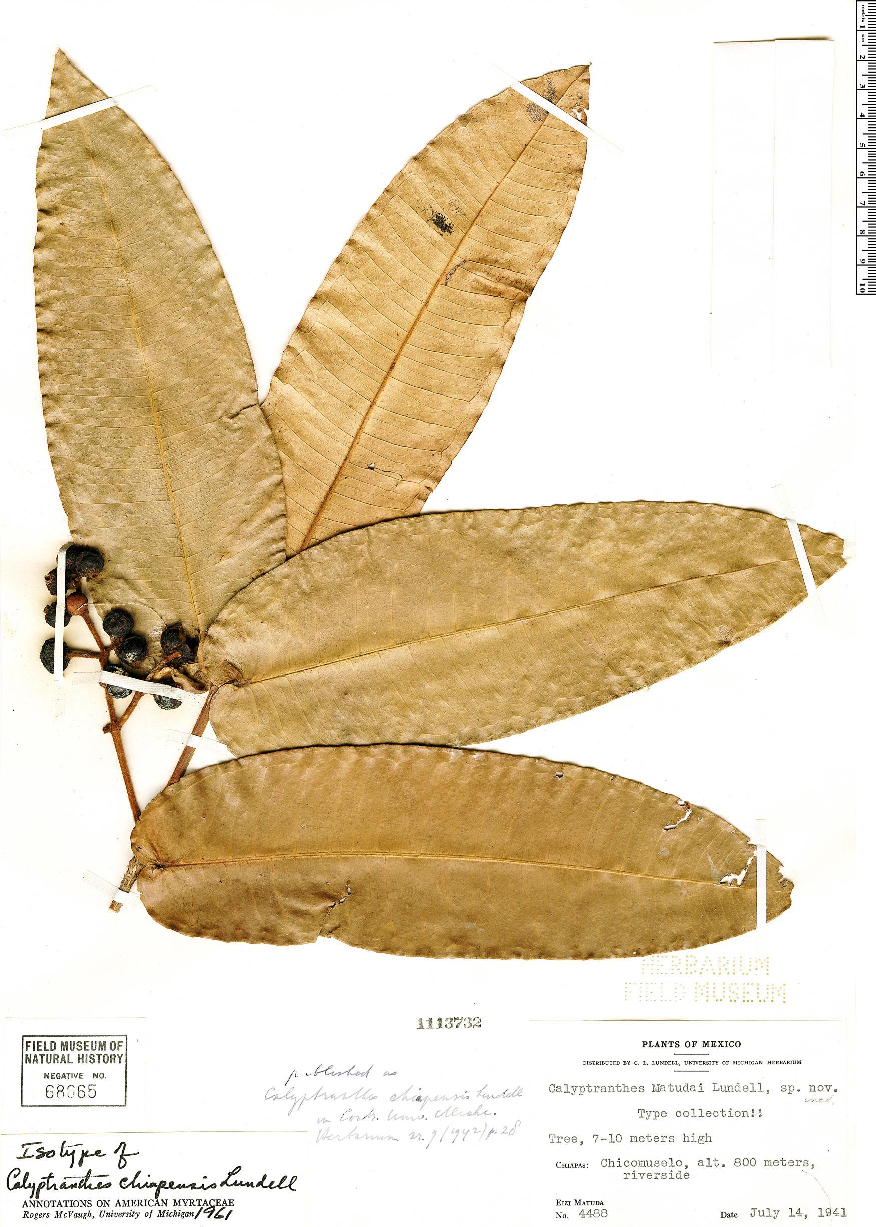 Specimen: Calyptranthes chiapensis