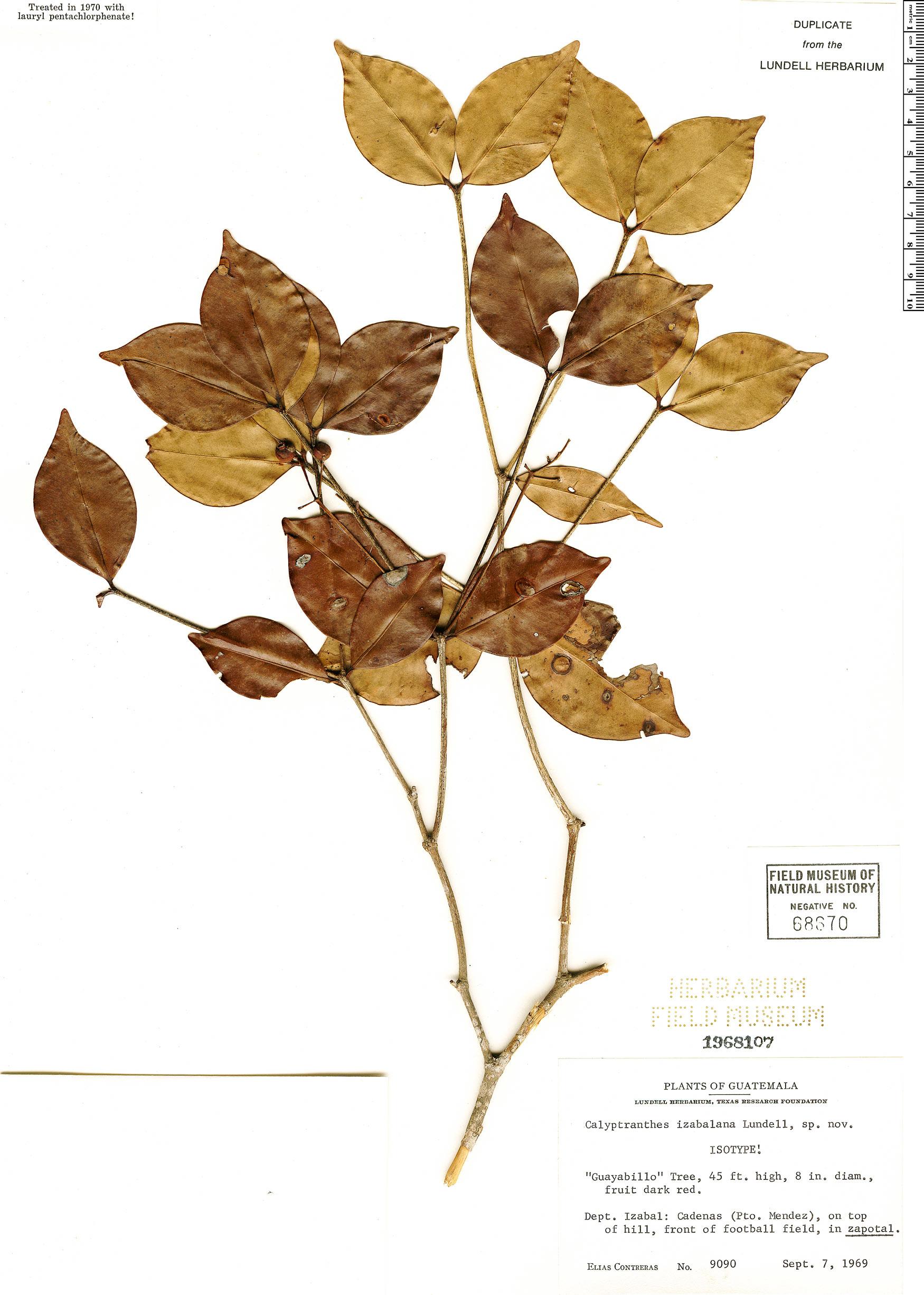 Specimen: Calyptranthes izabalana