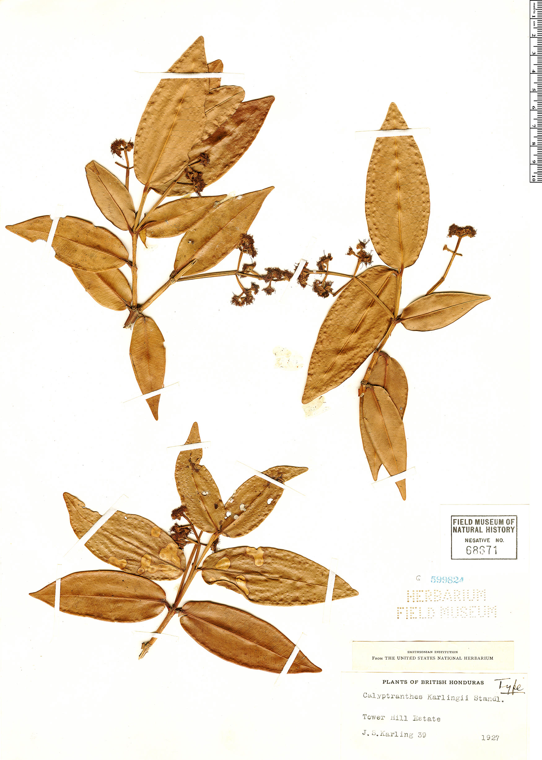 Specimen: Calyptranthes karlingii