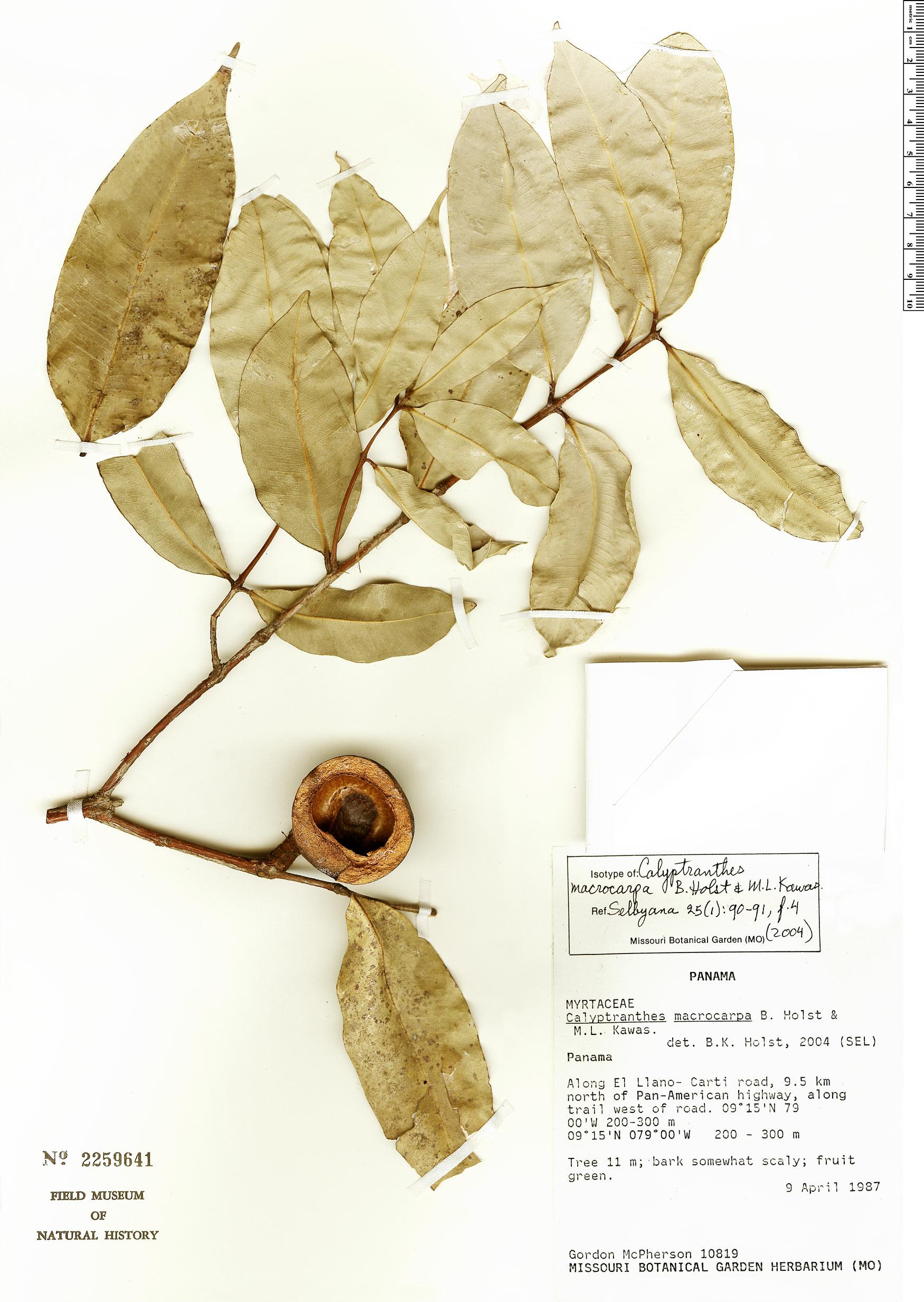 Specimen: Calyptranthes macrocarpa